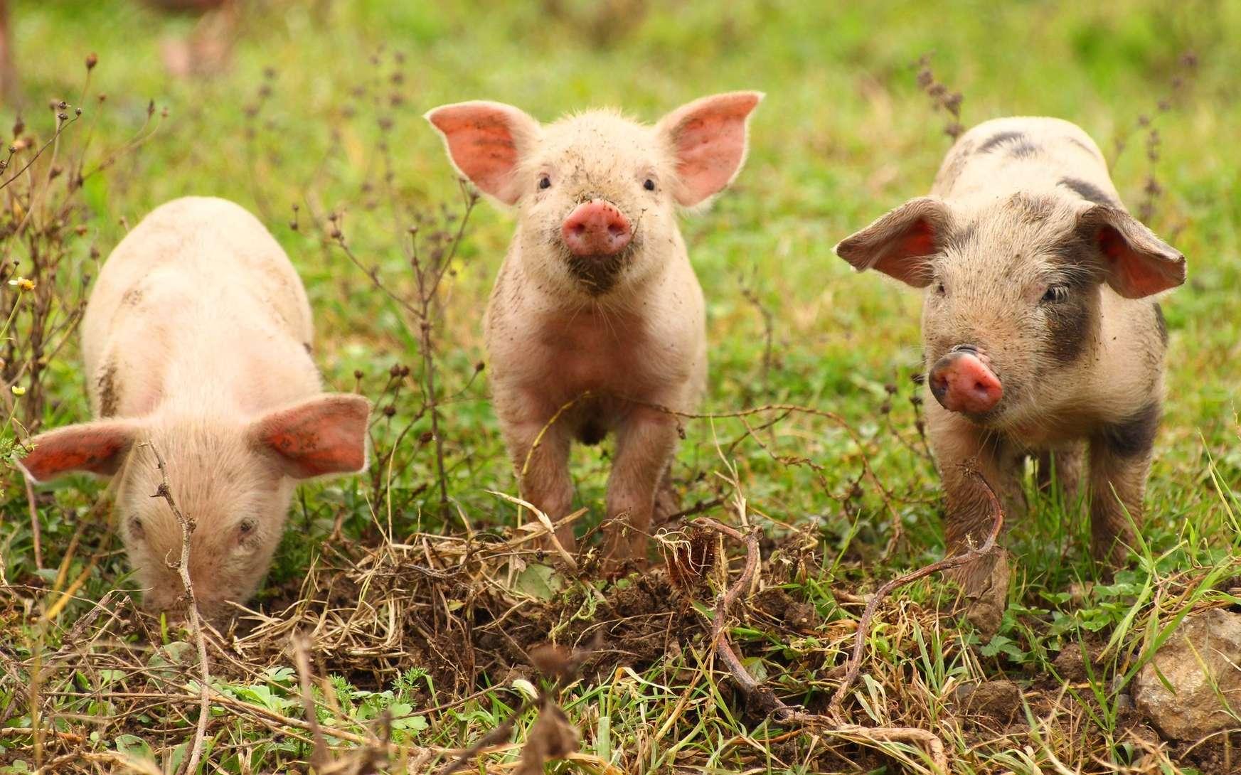 Tout est bon dans le cochon, même les organes pour des greffes. © gudrin, Fotolia