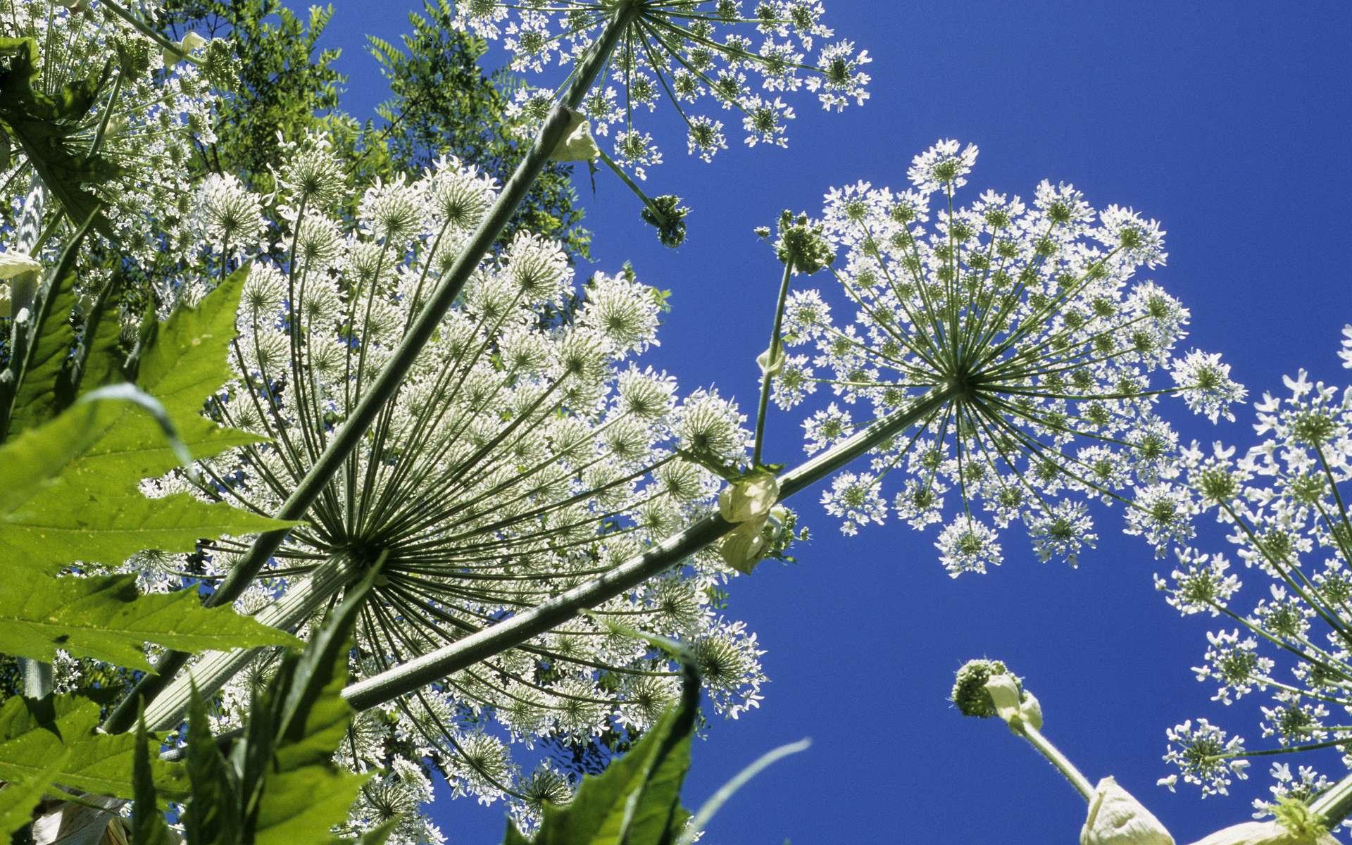 La berce de Caucase, Heracleum mantegazzianum, peut atteindre trois à quatre mètres de haut. © Pixaterra, Adobe stock