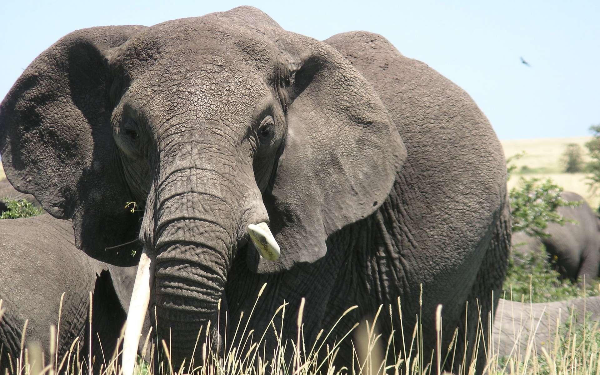 Les éléphants en captivité ne sont pas plus gras que ceux dans la nature. © martin_vmorris, Flickr