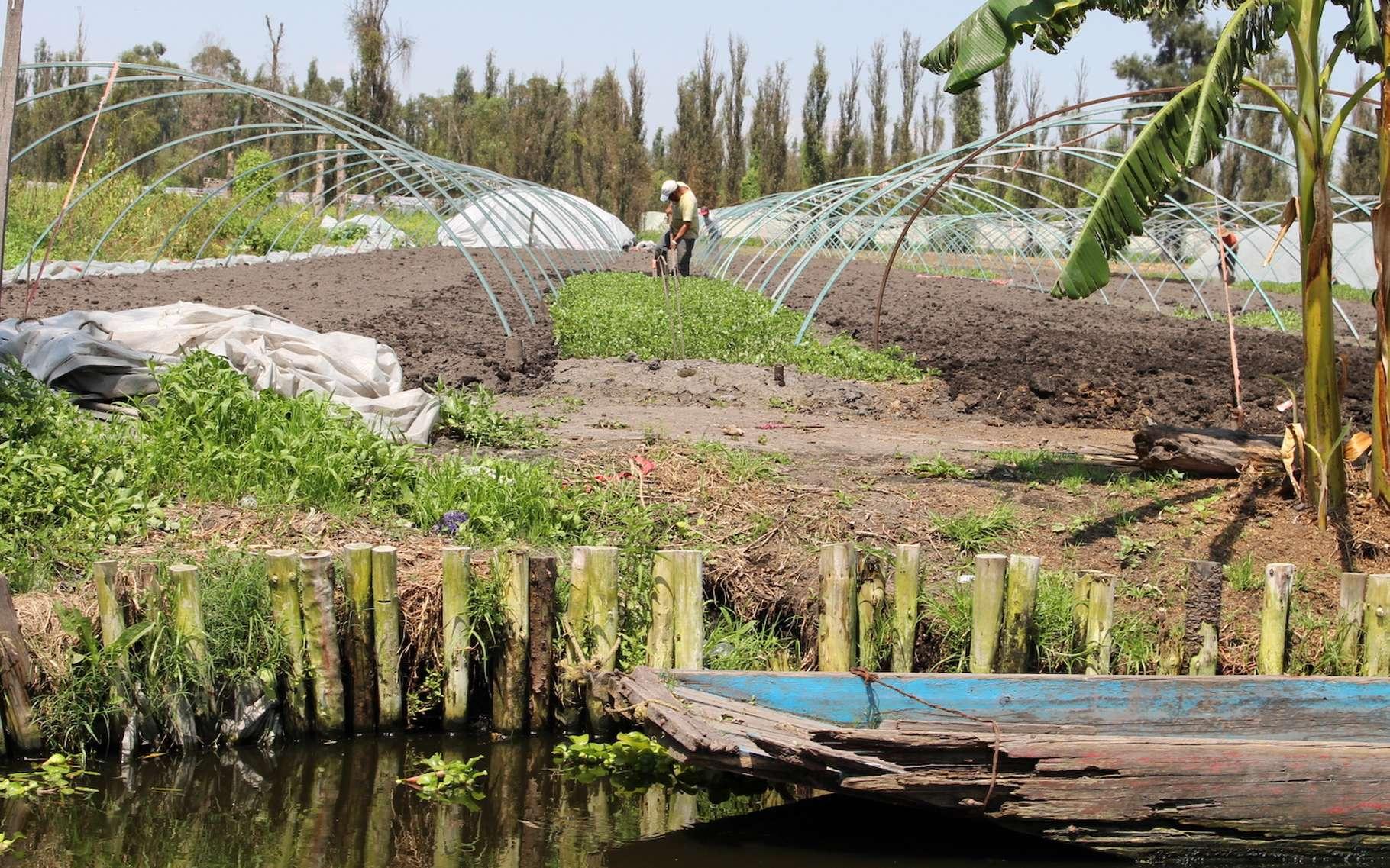 Les chinampas sont des vestiges de l'ingéniosité aztèque. Lorsqu'au XIVe siècle, ils se sont fixés sur des terres marécageuses, ils n'ont eu d'autre choix pour se nourrir que d'accroître les surfaces cultivables en construisant des îles artificielles à l'aide de la boue fertile des lacs. Ici, en version moderne. © Emmanuel Eslava, Wikipedia, CC by-sa 4.0