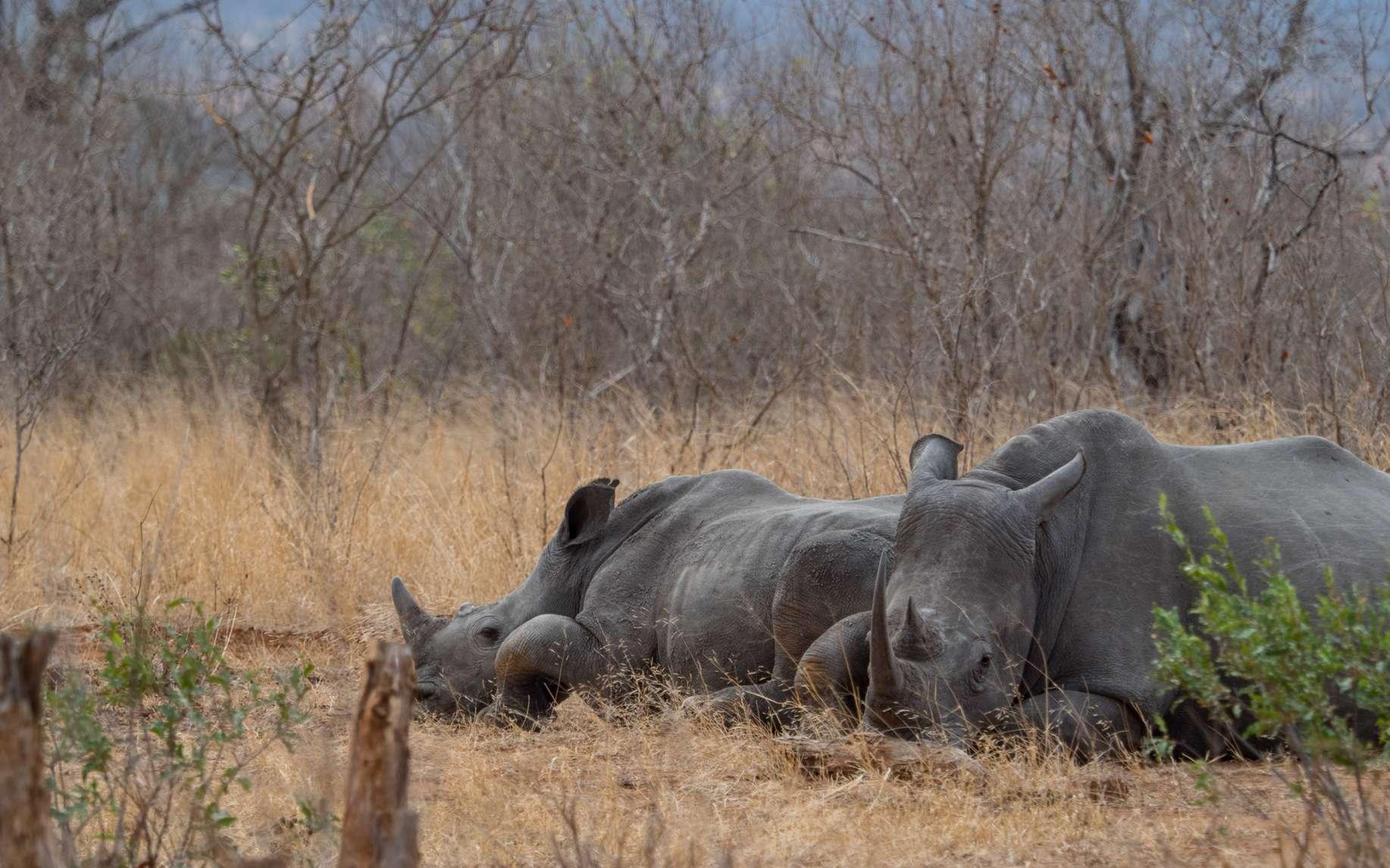 Les rhinocéros sont très menacés, notamment parce que leurs cornes sont convoitées pour les vertus médicinales que leur accordent des traditions asiatiques. © WilcoUK