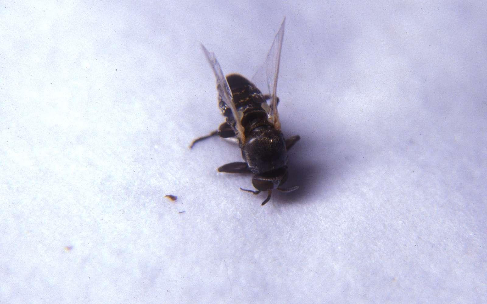 Le nématode responsable de l'onchocercose se transmet par une mouche noire qui se reproduit dans les cours d'eau agités. © Community Eye Health, Flickr, CC by-nc 2.0