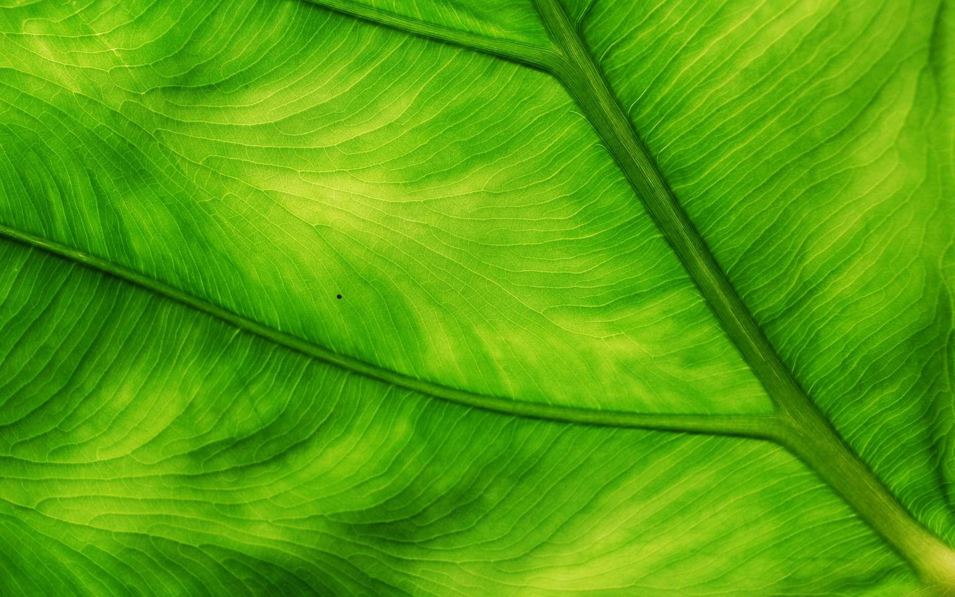 Les Experts, version botanique : la couleur et la fluorescence des feuilles sont affectées par la décomposition de restes humains. © bettinche, Flickr
