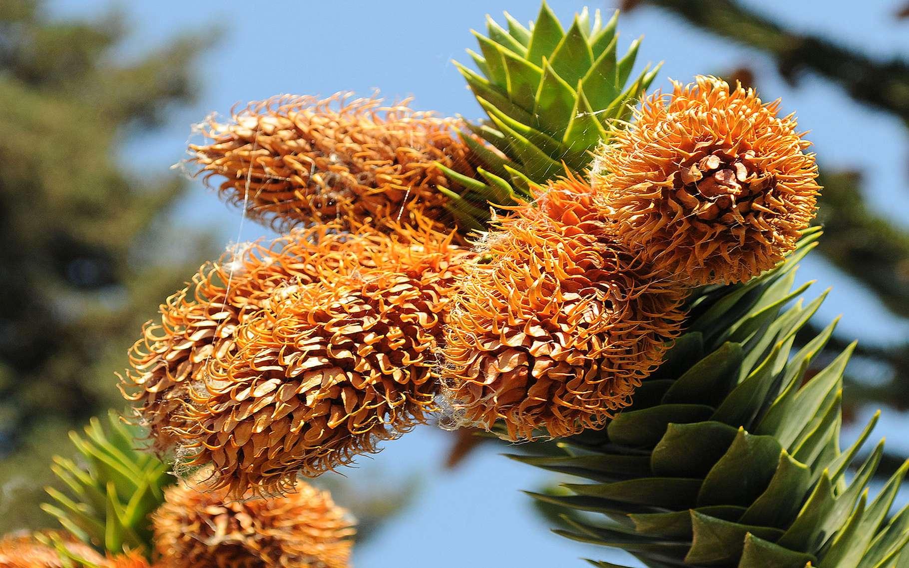 L'araucaria du Chili. © BlondeWatchmaker, Flickr CC by nc 2.0