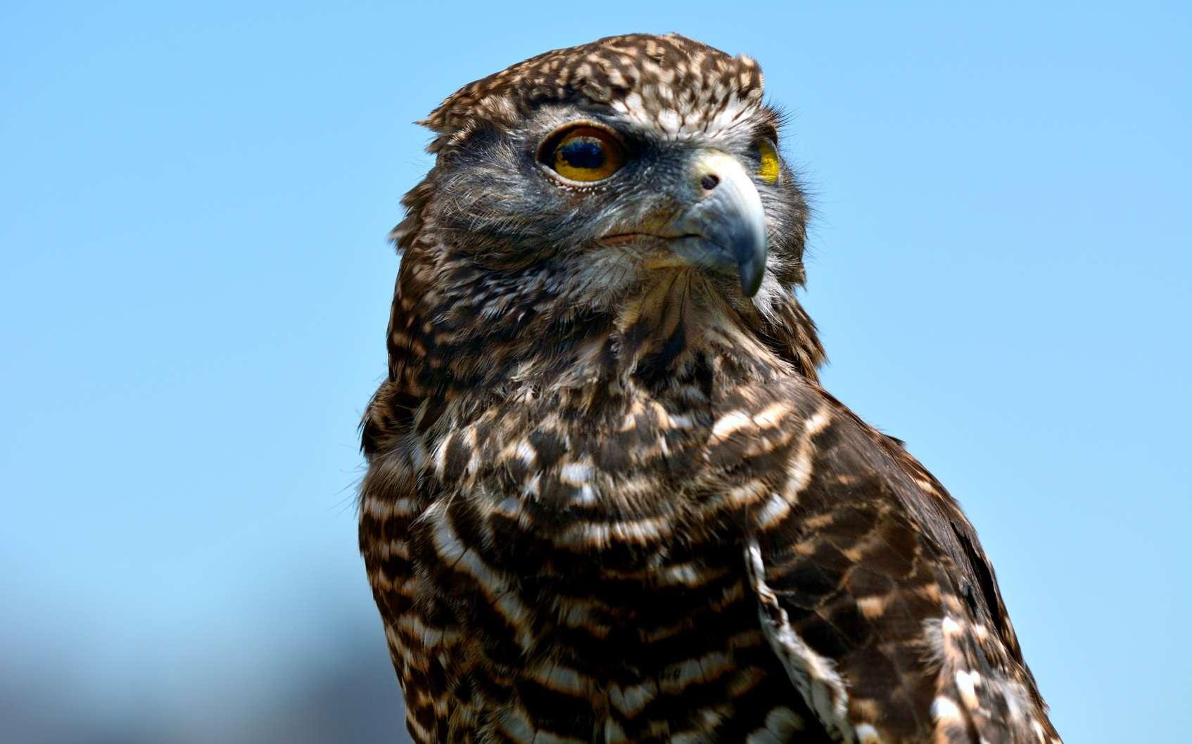 Ce faucon est un incendiaire notable en Australie. © Rafael Ben-Ari, Fotolia