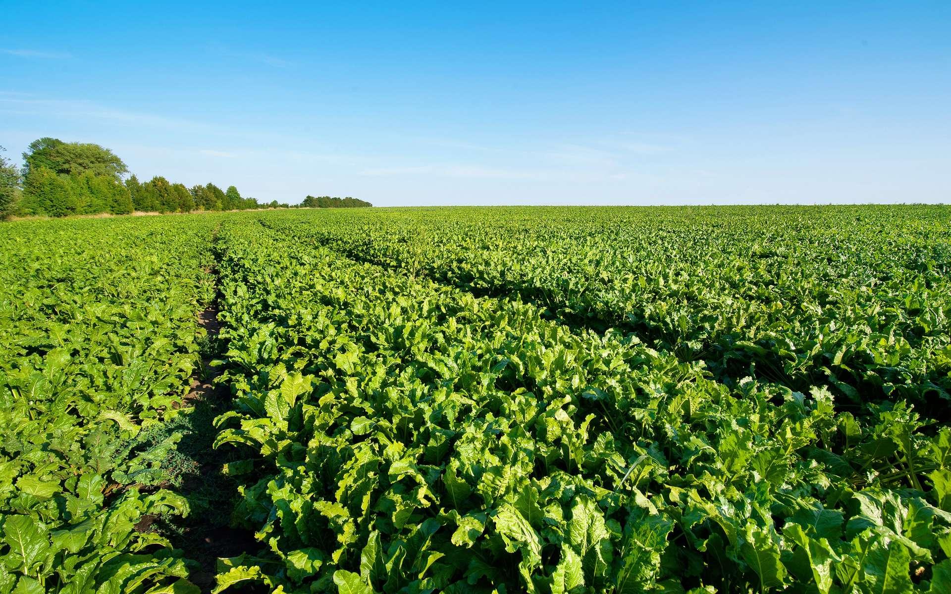 Pourquoi la betterave sucrière bio ne se développe-t-elle pas plus vite en France ?