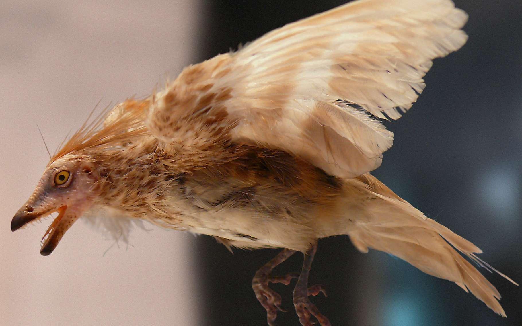 Des paléontologues ont analysé la structure de plumes d'oiseaux préhistoriques prisonnières de l'ambre depuis quelque 100 millions d'années. Celle-ci suggère d'importantes différences de développement et de fonctionnement avec les plumes d'oiseaux modernes. © José-Manuel Benito Alvarez, Wikipedia, Domaine public