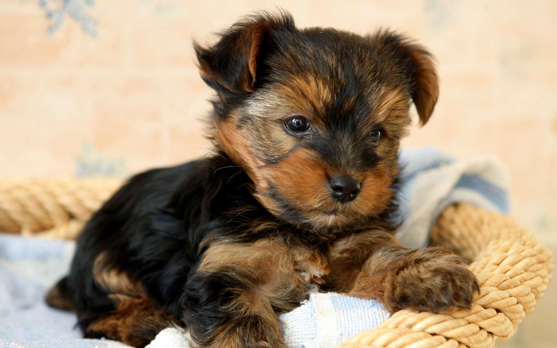 Même s'il n'est pas contaminé, traitez votre chien afin de le protéger des tiques, car leurs morsures peuvent entraîner des infections. © Phovoir