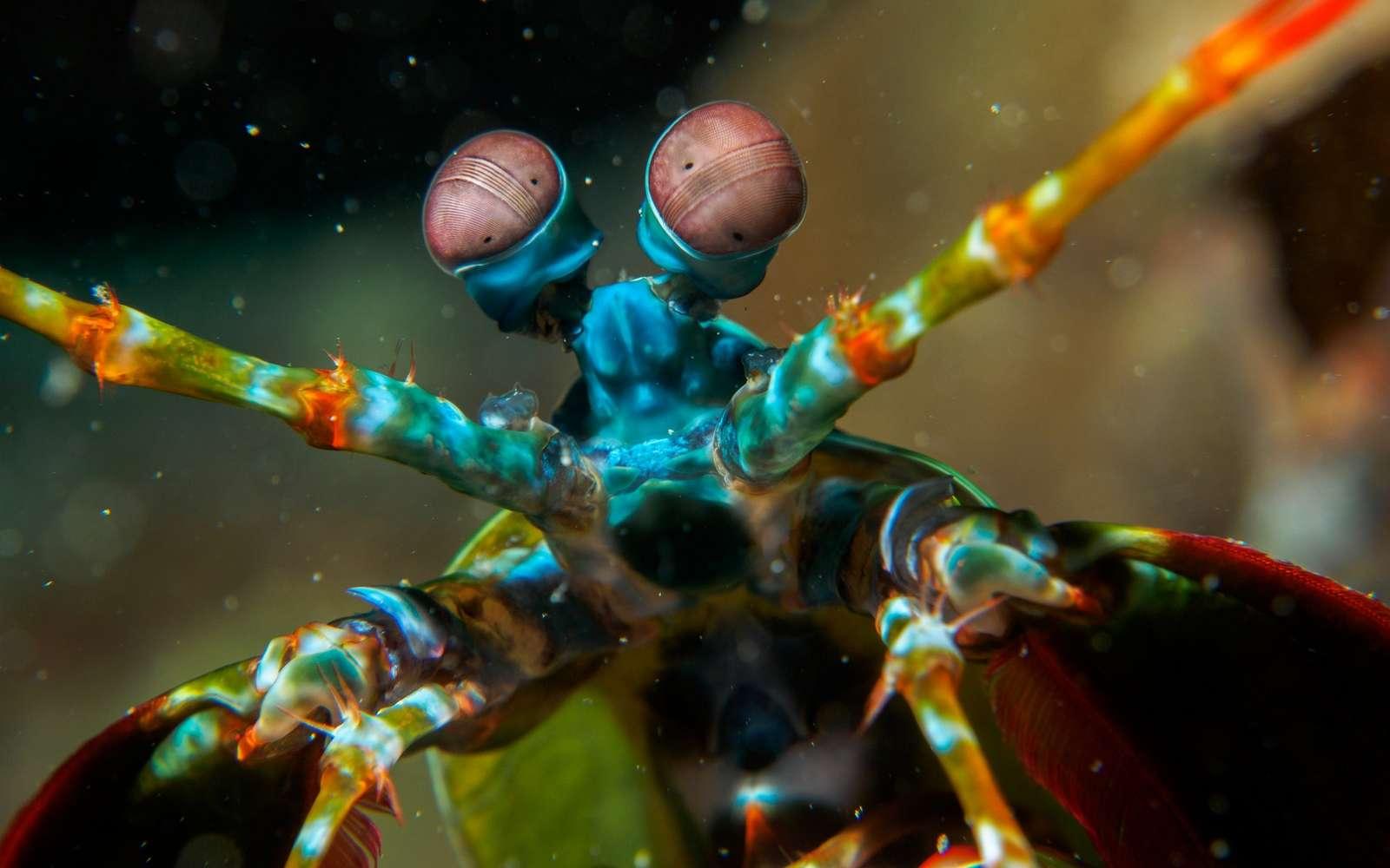 La crevette-mante fait partie des invertébrés dont la vision peut détecter la polarisation de la lumière. © Bugking88, Fotolia