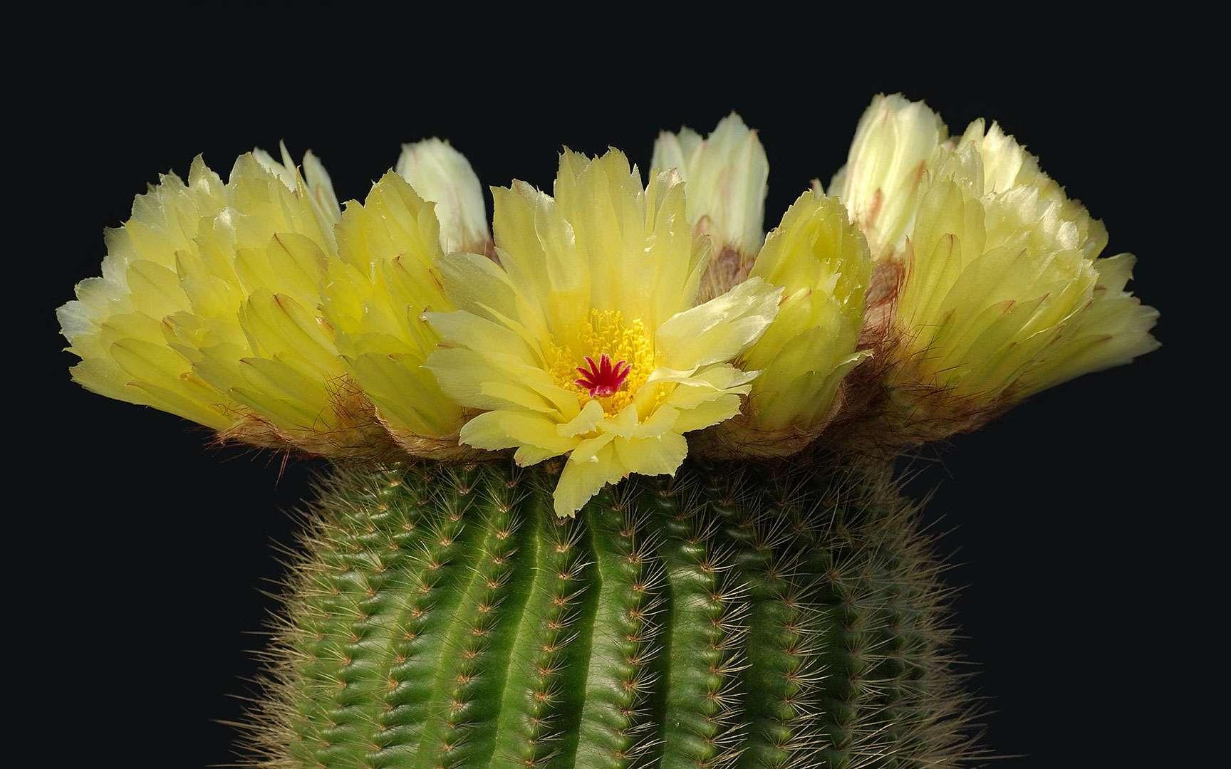 Cactus : notocactus minimus. Parodia est un genre de la famille des cactus composé d'environ 50 espèces. Ce nom de Lorenzo Raimundo Parodi (1895-1966), botaniste argentin. Elles sont originaires du centre de l'Amérique du Sud : Nord du Chili et de l'Argentine, Bolivie, Paraguay et sud du Brésil. Sur les pentes arides des montagnes jusqu'à 2.800 m et dans les zones vallonées. Wikipedia © Laitche - Domaine Public