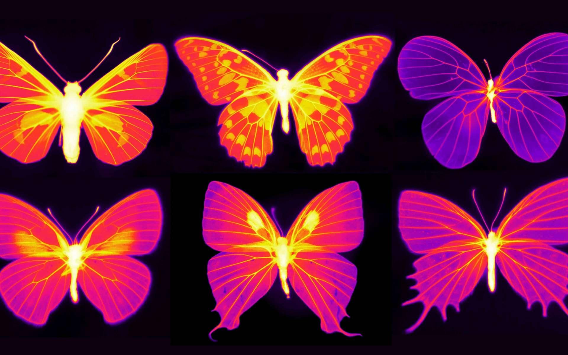 Les ailes des papillons contiennent des cellules vivantes dont la fonction nécessite des températures appropriées. © Nanfang Yu et Cheng-Chia Tsai, Columbia Engineering