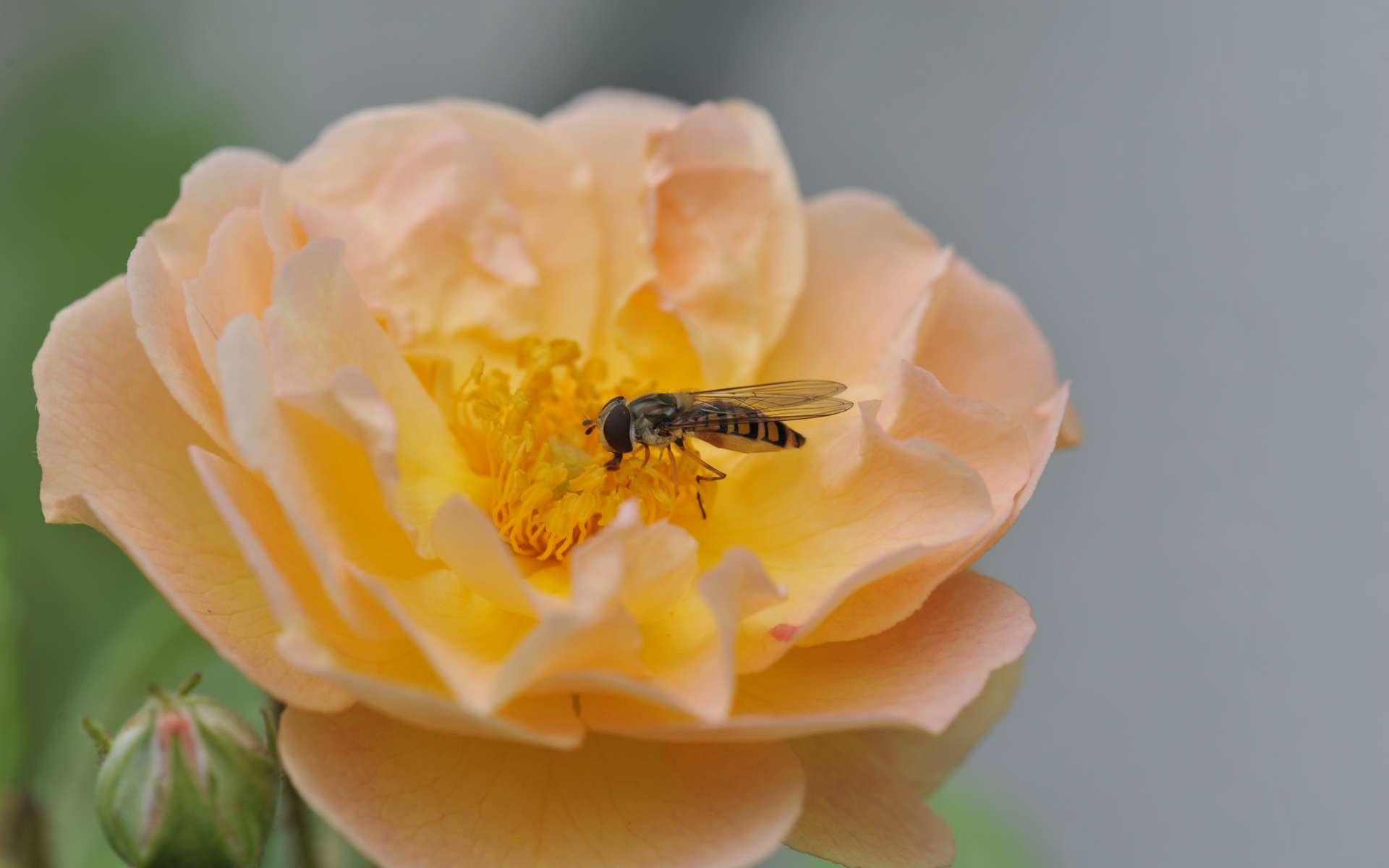 Les portables pourraient jouer un rôle dans le déclin de la population des insectes. © Ghislaine Laussel, tous droits réservés