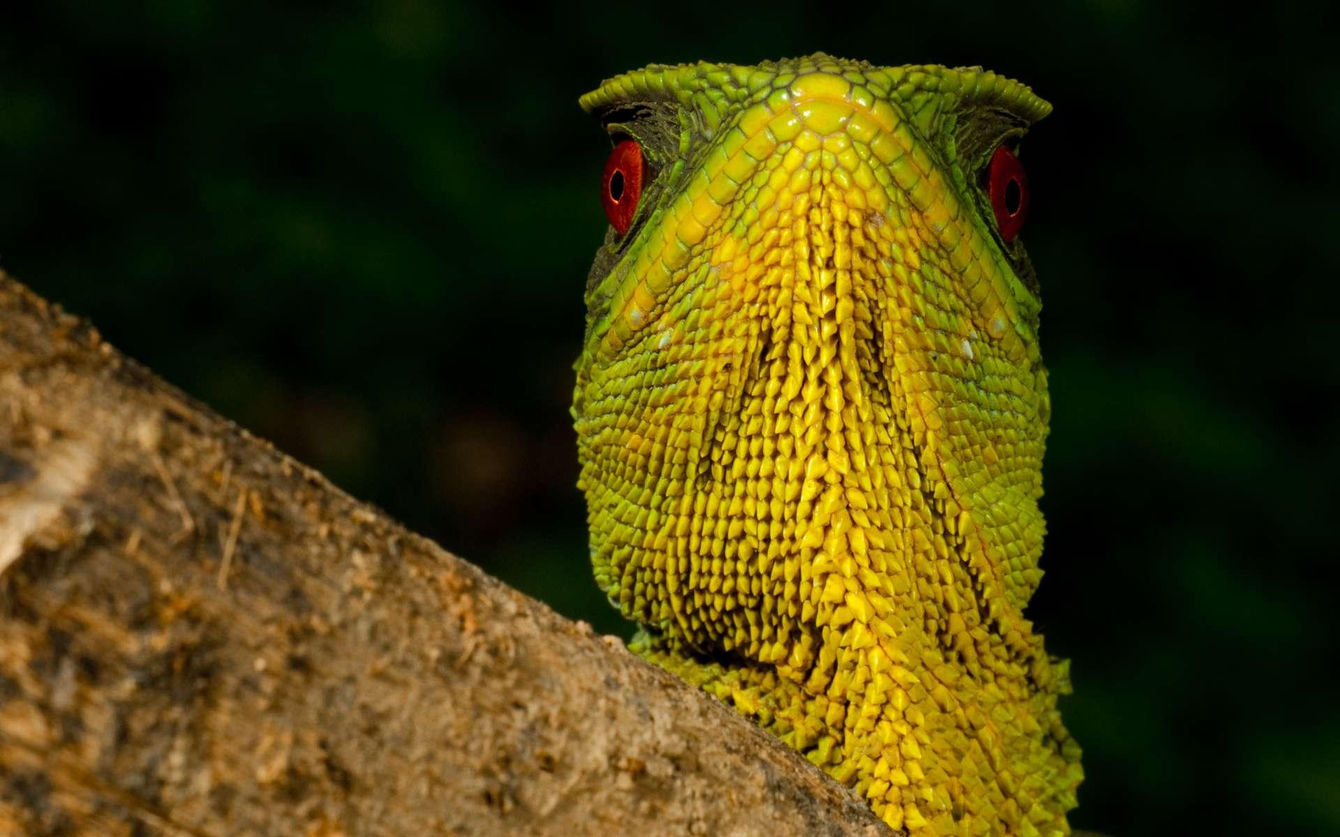 Ce magnifique iguane nain mâle (Enyalioides oshaughnessyi) vit dans une forêt des nuages équatorienne rare et menacée par le changement climatique. © Paul S. Hamilton / RAEI.org