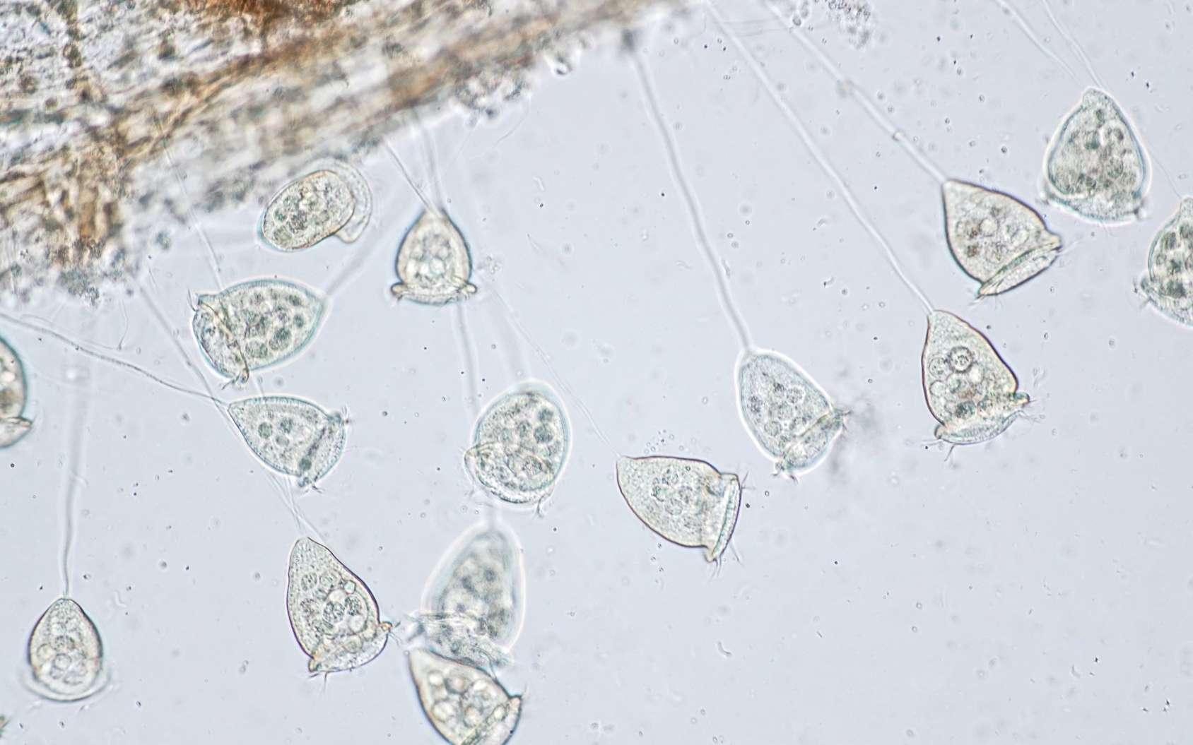 Les vorticelles sont des protozoaires ciliés. © tonaquatic, Fotolia