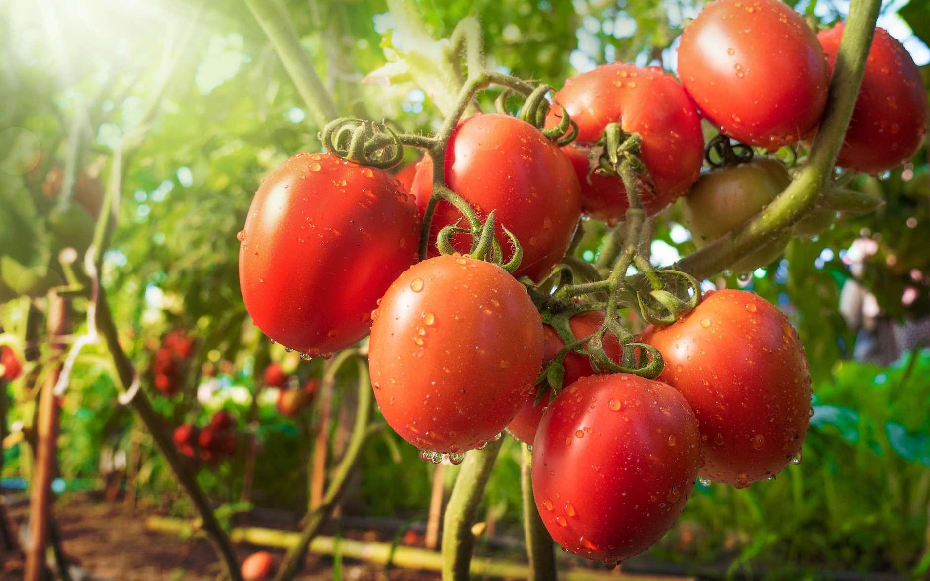 Les variétés de tomates vont de la petite tomate cerise à la grosse tomate coeur de boeuf. © singkham, fotolia