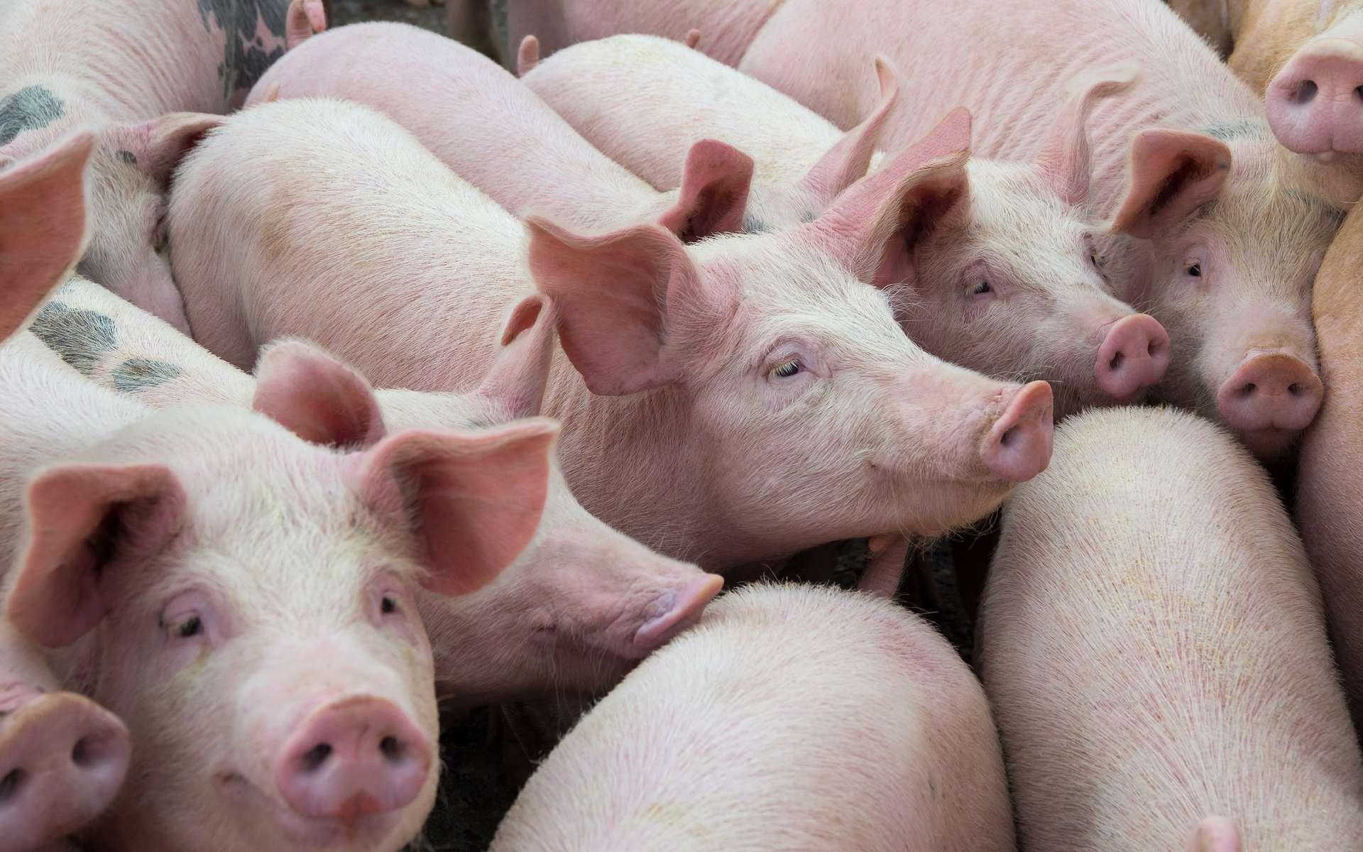 Les animaux d'élevage portent huit fois plus de virus zoonotiques que les animaux sauvages. Par exemple, les porcs seraient à l'origine de la pandémie de grippe H1N1. © Deyana, Adobe Stock
