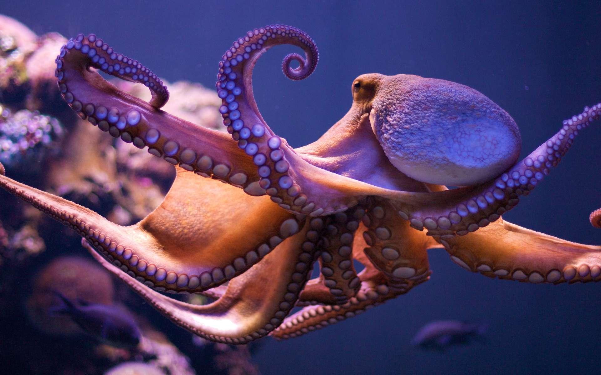 Voisins des seiches et des calmars, des céphalopodes qui ont dix bras, les octopodes en ont huit. Ces as du camouflage, capables de se faufiler dans les fonds rocheux, sont remarquablement intelligents. © Morten Brekkevold, Flickr, cc by nc sa 2.0