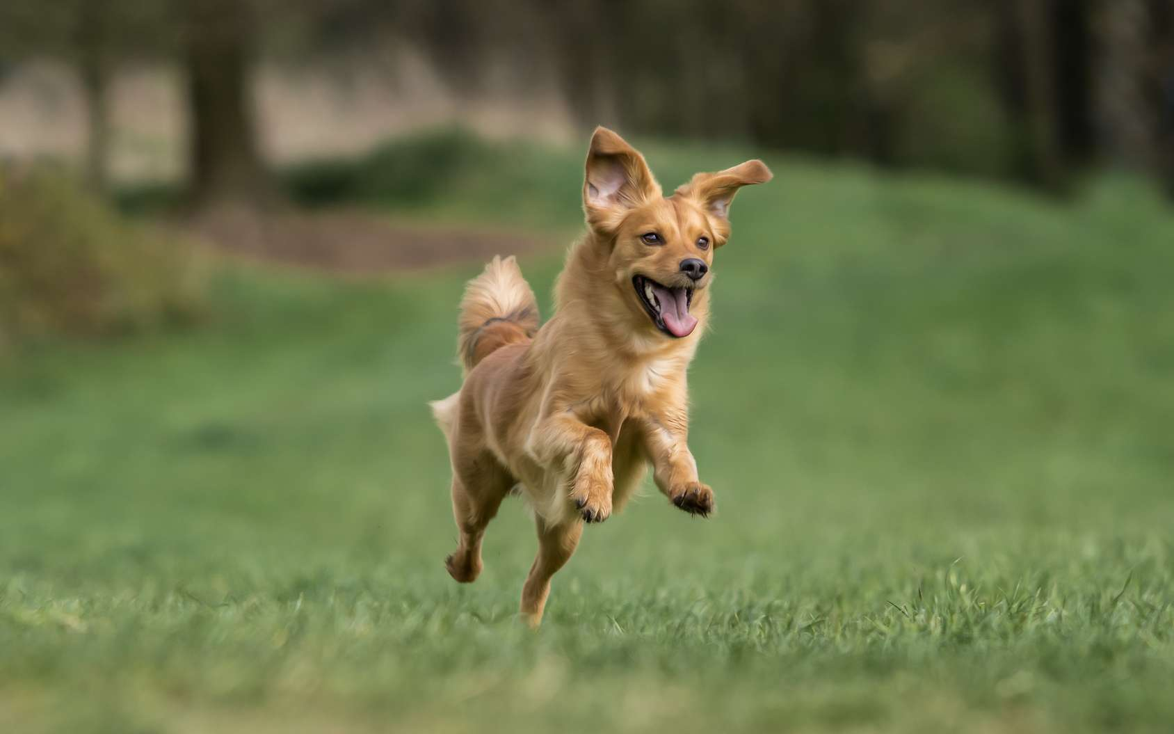 Pourquoi les chiens sautent sur leur maître. © Christian Papke, Fotolia