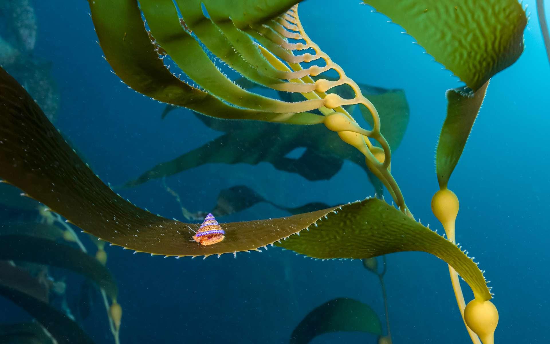 Mention honorable catégorie eaux froides : joyau des varechs. © Jon Anderson, UWPG