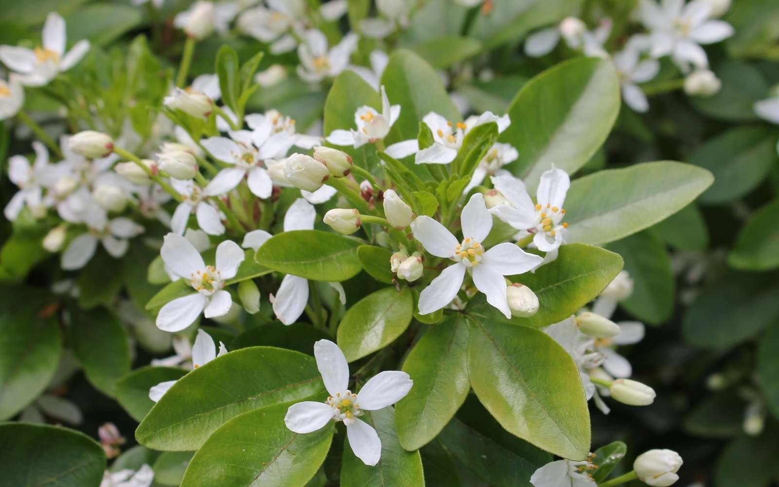 L'oranger du Mexique, Choisya ternata en latin, se couvre de petites fleurs odorantes au parfum d'agrumes. © S. Chaillot