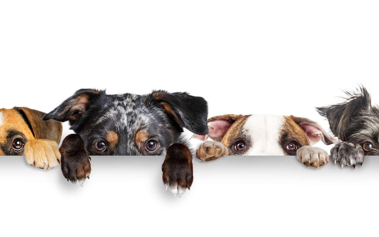 Le chien est un bon sujet d'étude pour les scientifiques. Et régulièrement, ils nous apprennent des choses que nous ne savions pas. © adogslifephoto, Adobe Stock