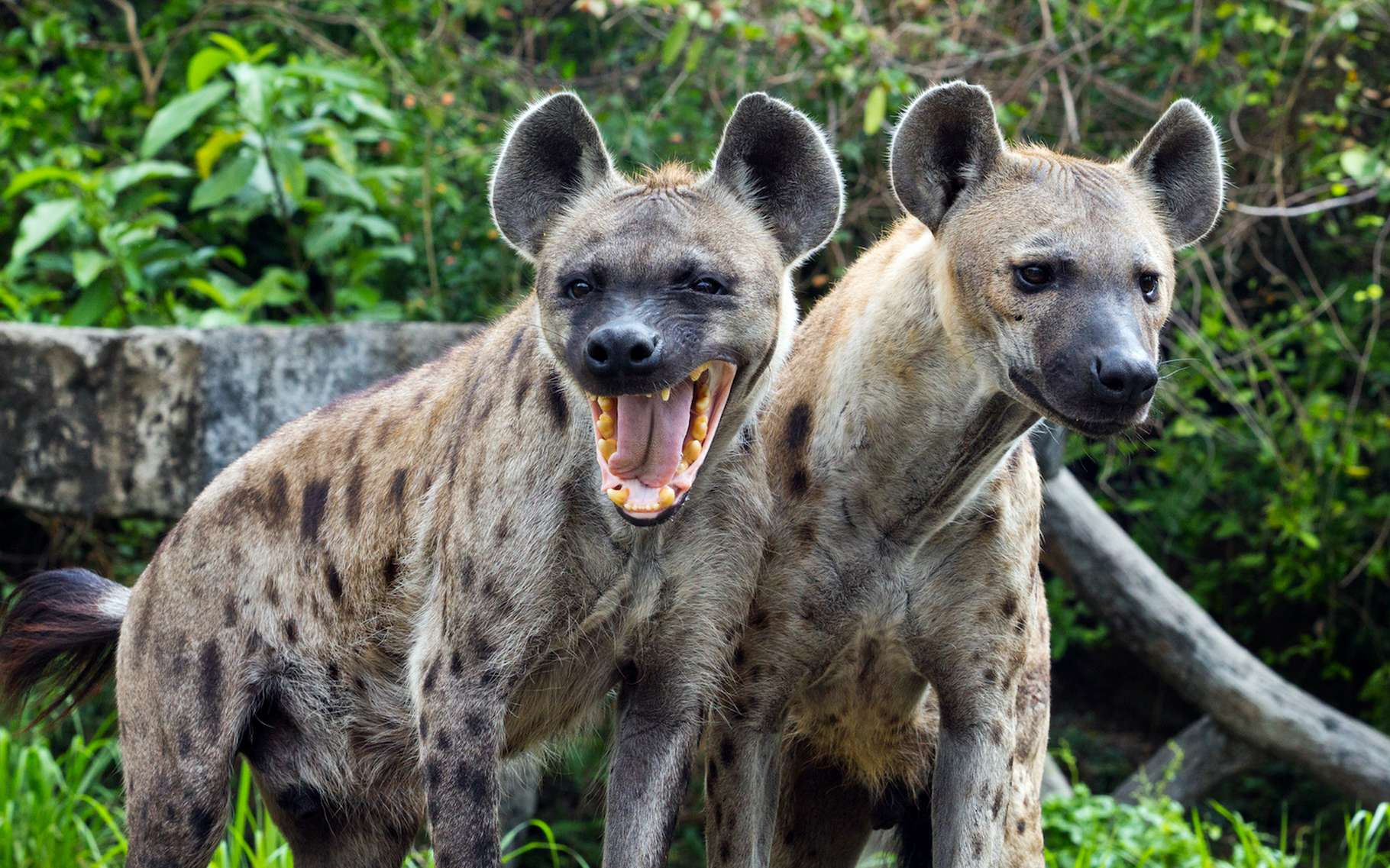 Les hyènes font partie de ces animaux dits « à vie lente » dont la vie sociale est riche. © MrPreecha, Adobe Stock