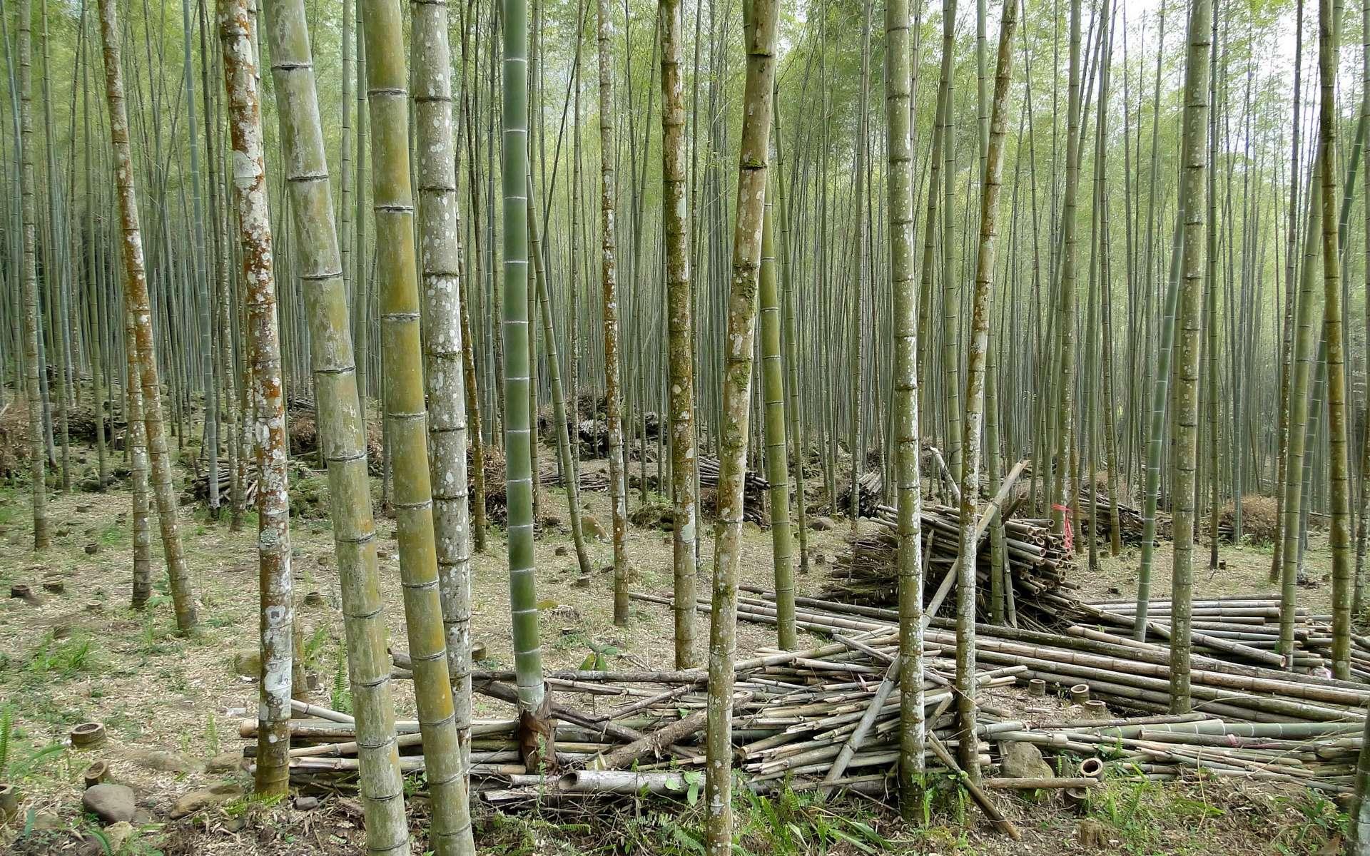 Forêt de Bambou à Taiwan © Bernard Gagnon, WIKIMEDIA, CC-BY-SA-3.0