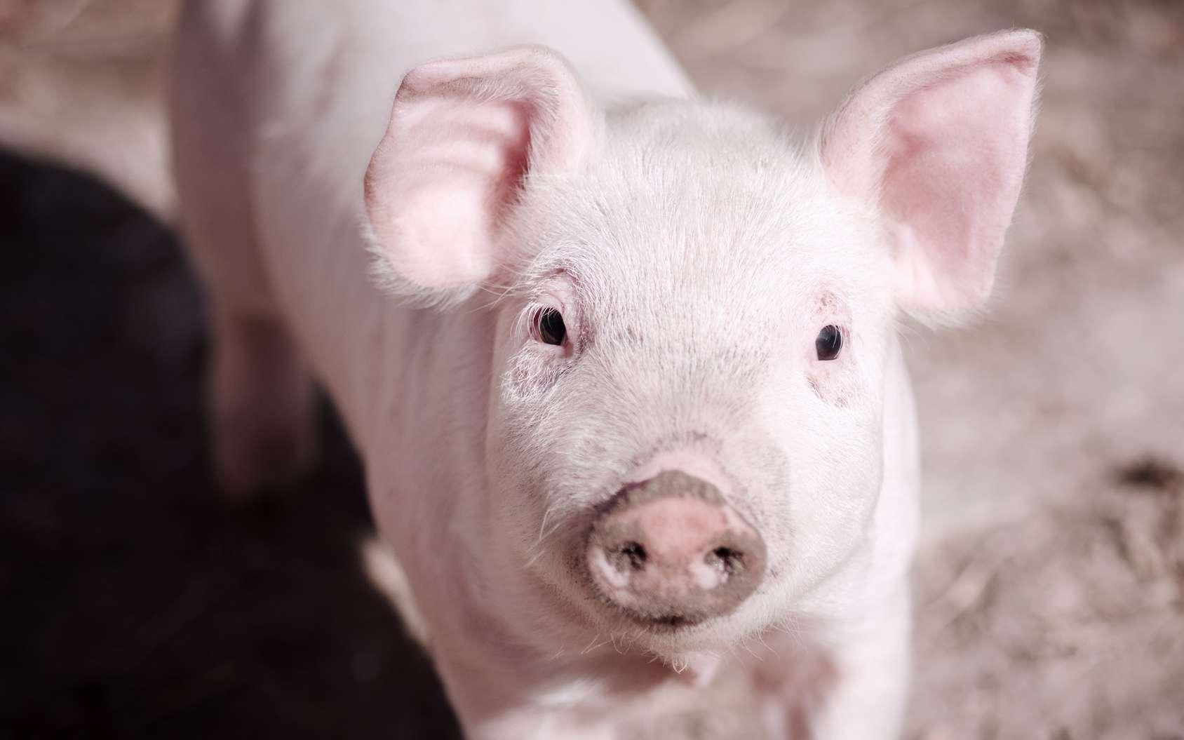 Des chercheurs ont réanimé les cellules cérébrales de cochons morts depuis 4 heures. © baiajaku, Fotolia