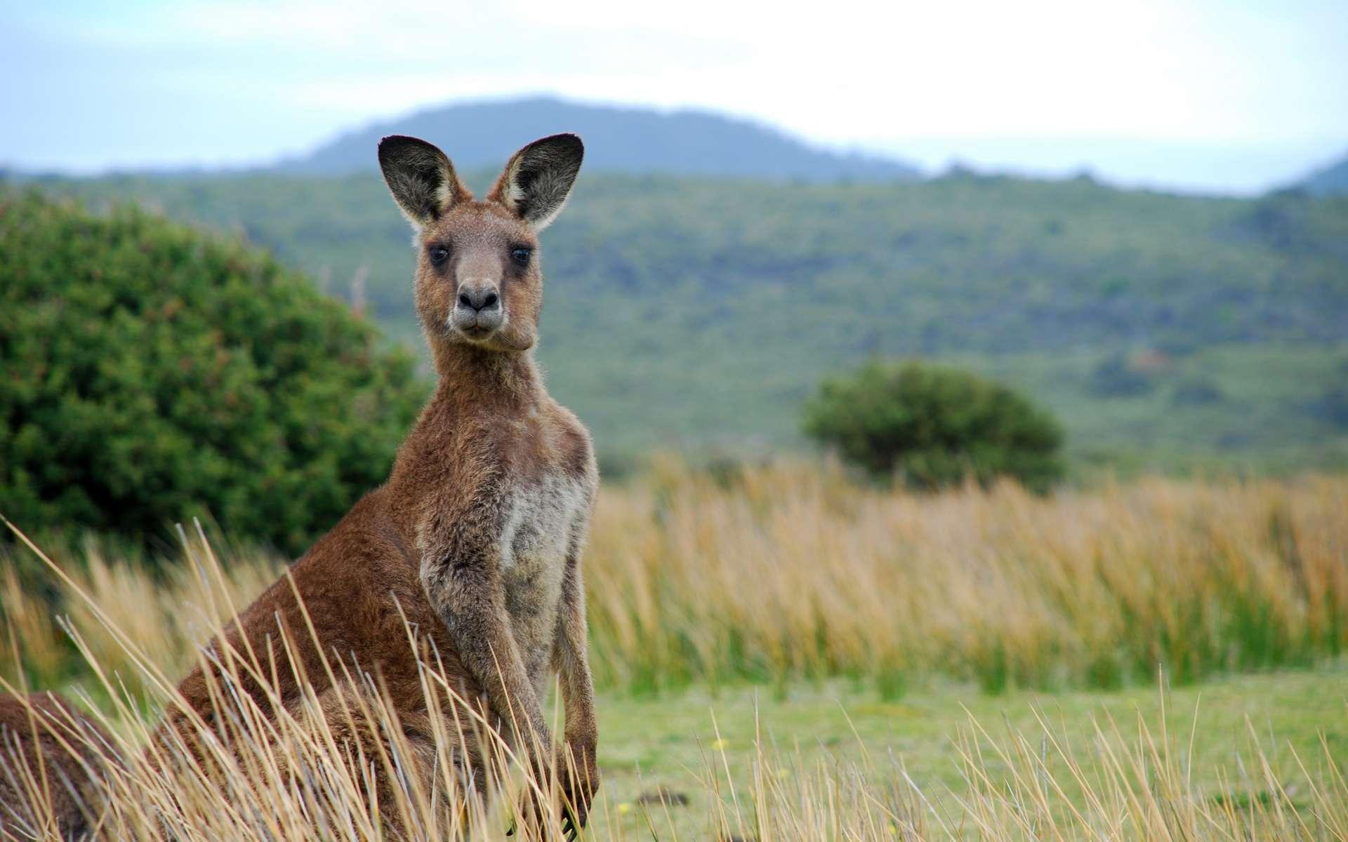 L'âge de la plus ancienne peinture pariétale déterminé grâce aux nids de guêpes en Australie. C'est un kangourou. © James Thew, Adobe Stock