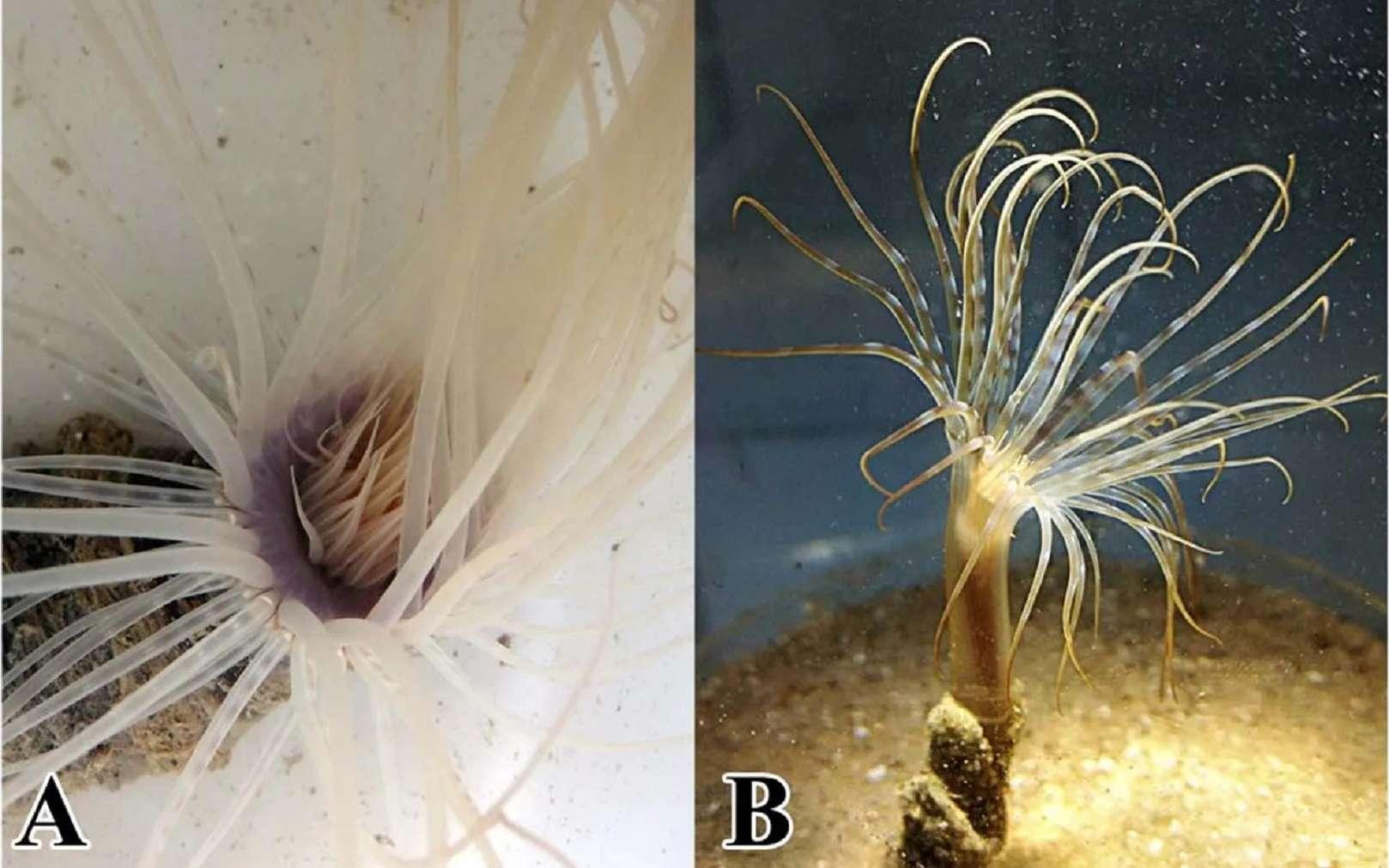 Les deux cérianthes de l'étude : à gauche Pachycerianthus magnus et à droite Isarachnanthus nocturnus. © Stampar et al, Scientific Reports 2019