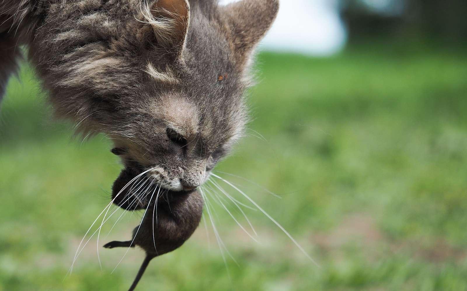 Les chats sont de très mauvais chasseurs de rats. © kozorog, Fotolia