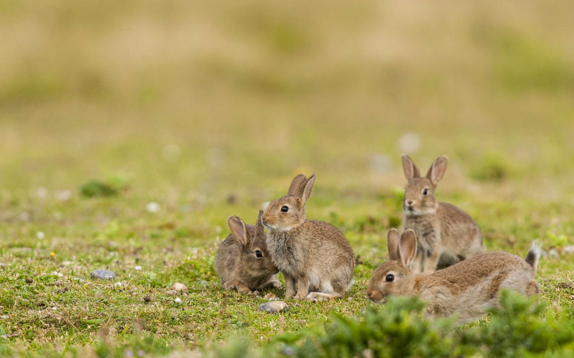 Aux États-Unis, des milliers de lapin de garenne sont morts à cause d'une maladie virale très contagieuse. © Alonbou, Adobe Stock