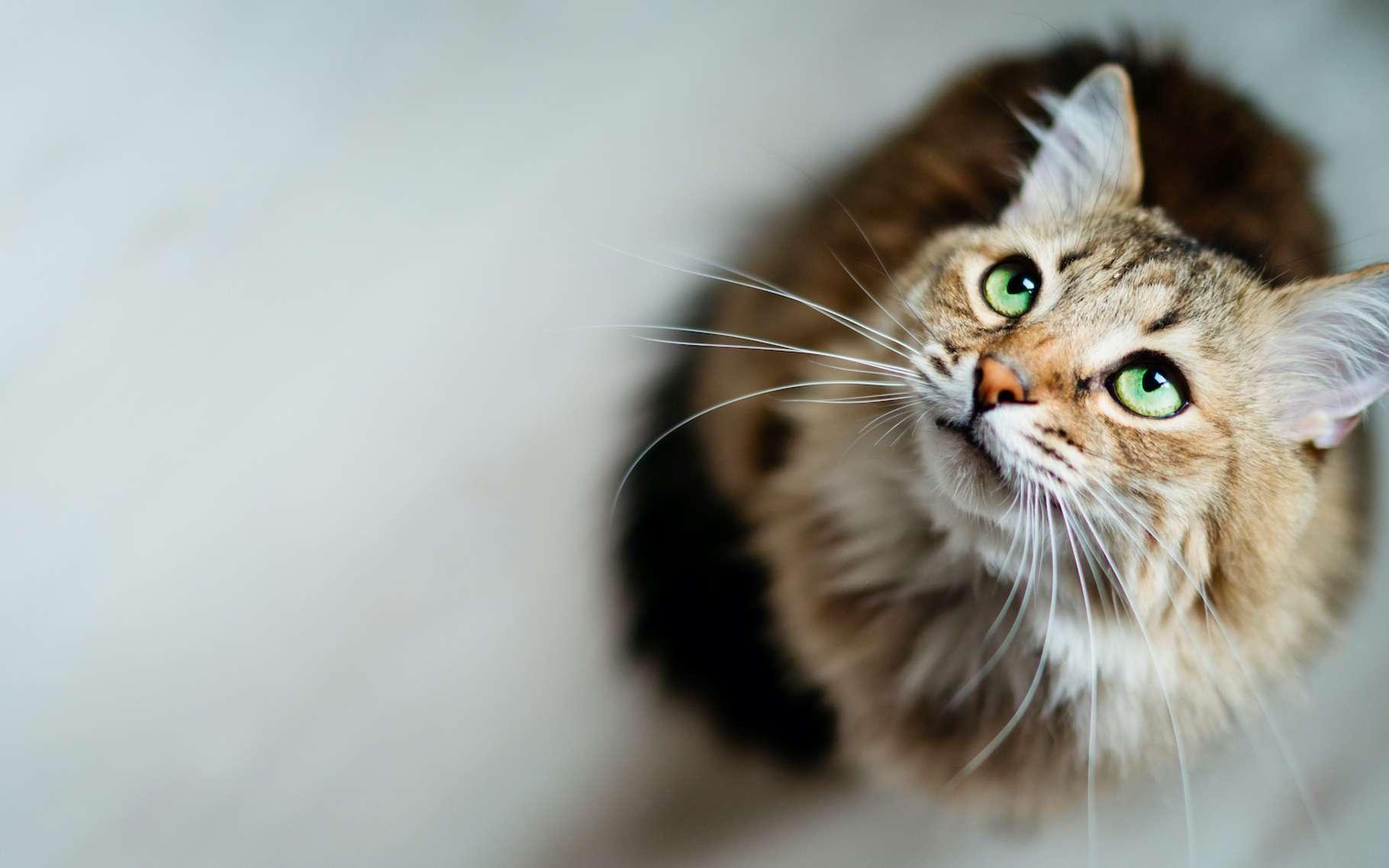 Tous les chats ne sont pas distants avec les humains qui partagent leur vie. C'est la conclusion d'une enquête menée par des chercheurs de l'université de Lincoln (Royaume-Uni). © Uzhursky, Adobe Stock
