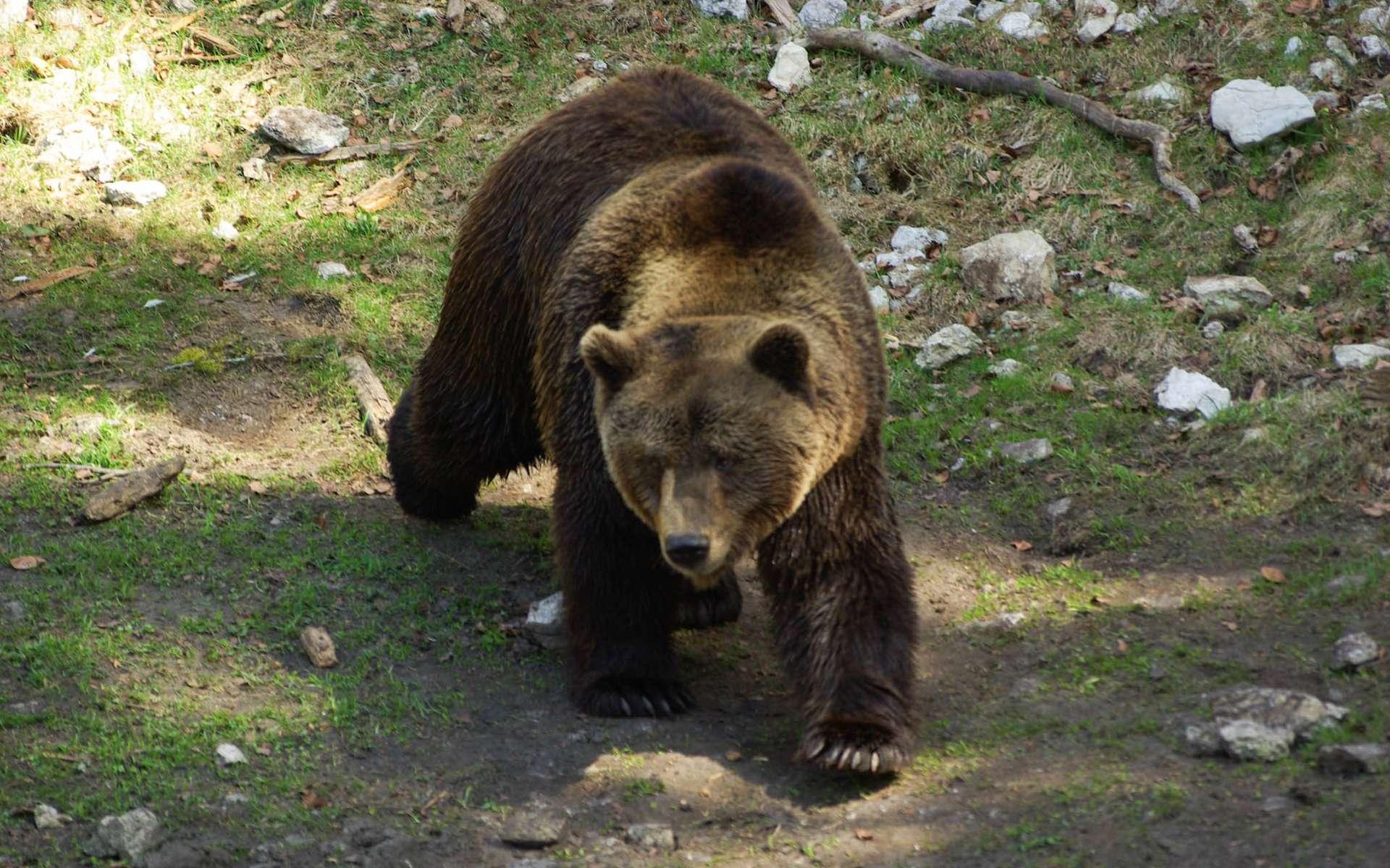 L'ours cherche par principe à éviter le contact avec l'Homme. © StormCS, Flickr, CC by 2.0