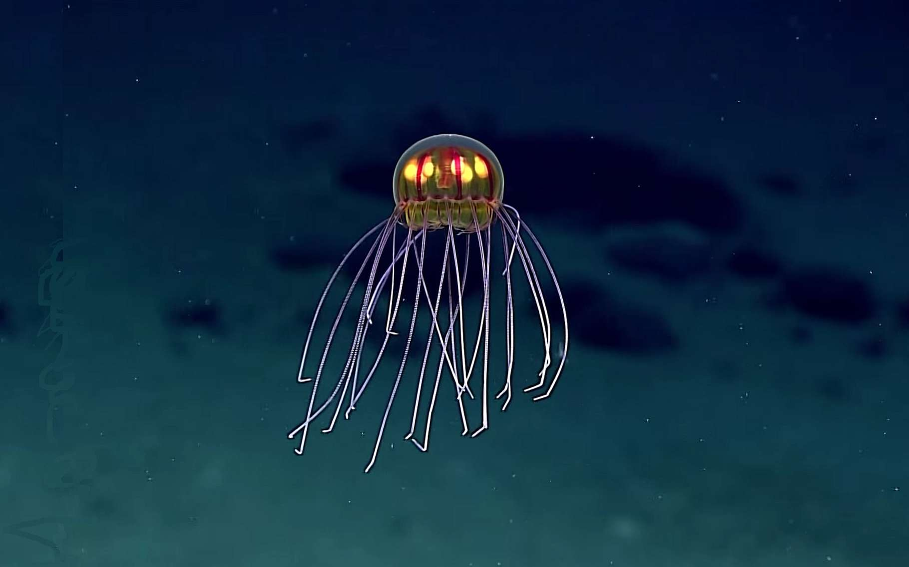 Une magnifique méduse surprise par près de 4.000 m de fond grâce à un engin télécommandé depuis un navire. Ses organes émettent de la lumière et elle est probablement en train de chasser. © NOAA Office of Ocean Exploration and Research, 2016 Deepwater Exploration of the Marianas, YouTube