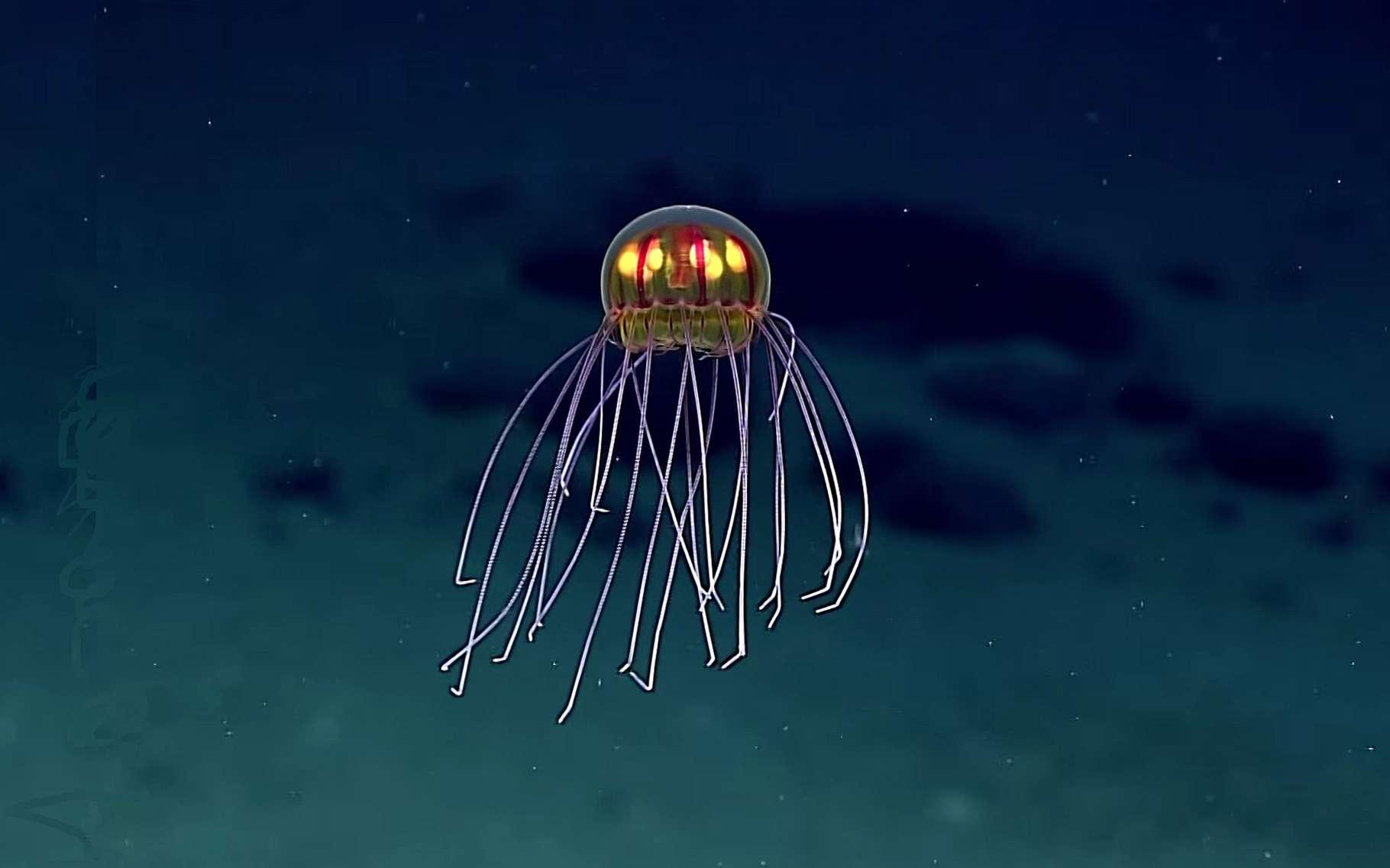Une magnifique méduse surprise par près de 4.000 m de fond grâce à un engin télécommandé depuis un navire. Ses organes émettent de la lumière et elle est probablement en train de chasser. © NOAA Office of Ocean Exploration and Research, 2016 Deepwater Exploration of the Marianas, YouTube