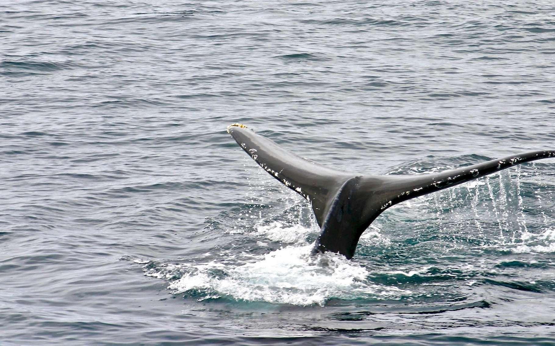 Selon les chercheurs, les sonars stressent les baleines au point de provoquer chez elles des comportements qui les conduisent à risquer l'accident de décompression. © James & Carol Lee, Unsplash