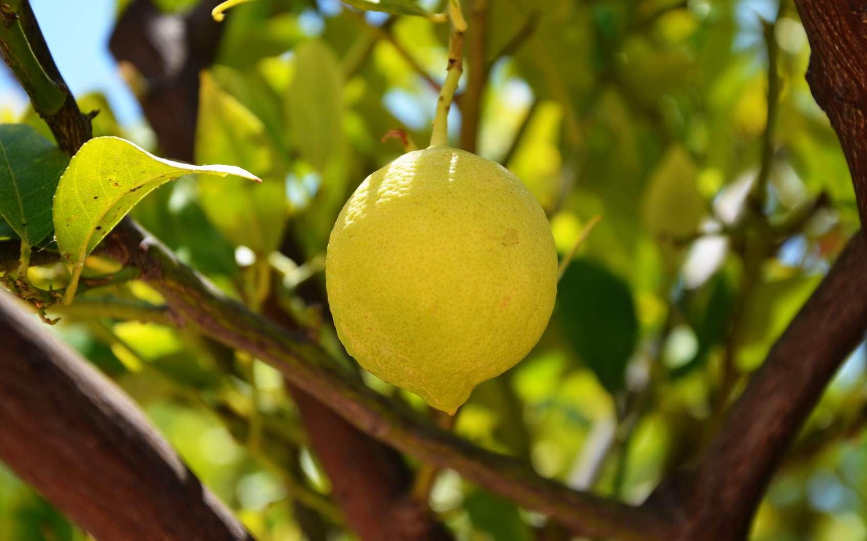Exposition de la fête du citron à Menton. © inken94, fotolia