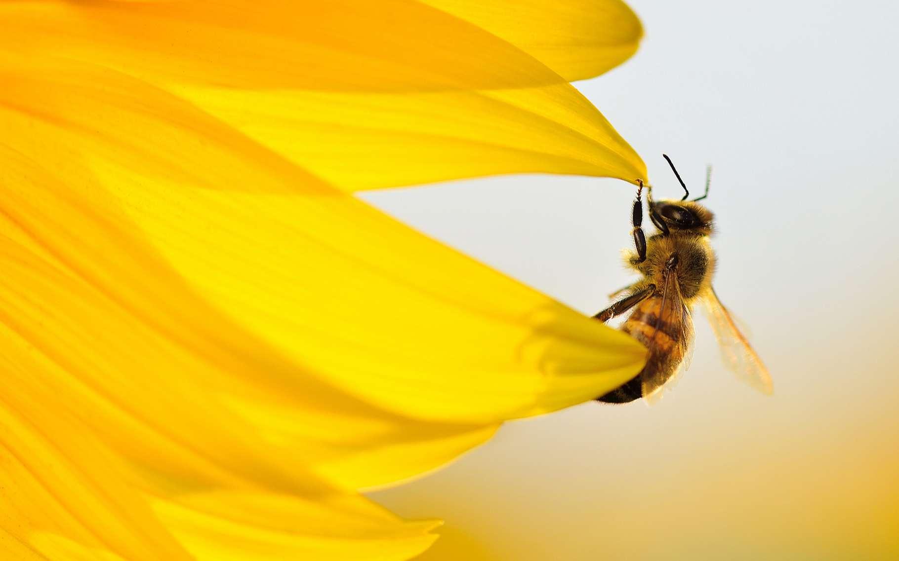 Si l'abeille se sent agressée, elle pique. Alors, pour éviter le pire, les apiculteurs ont recours à la méthode de l'enfumage des ruches. © Stanislav Samoylik, Shutterstock