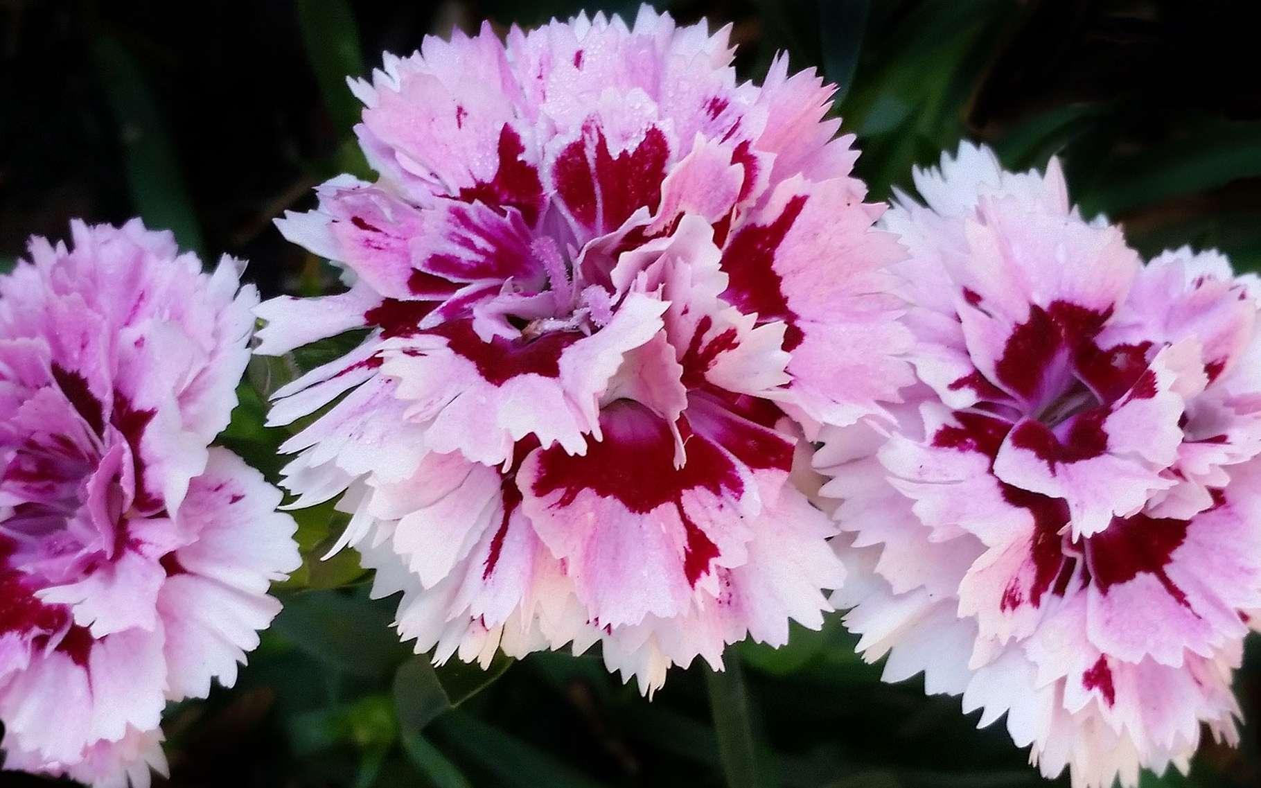 Le délicat parfum des œillets. © Buntysmun, Pixabay, DP