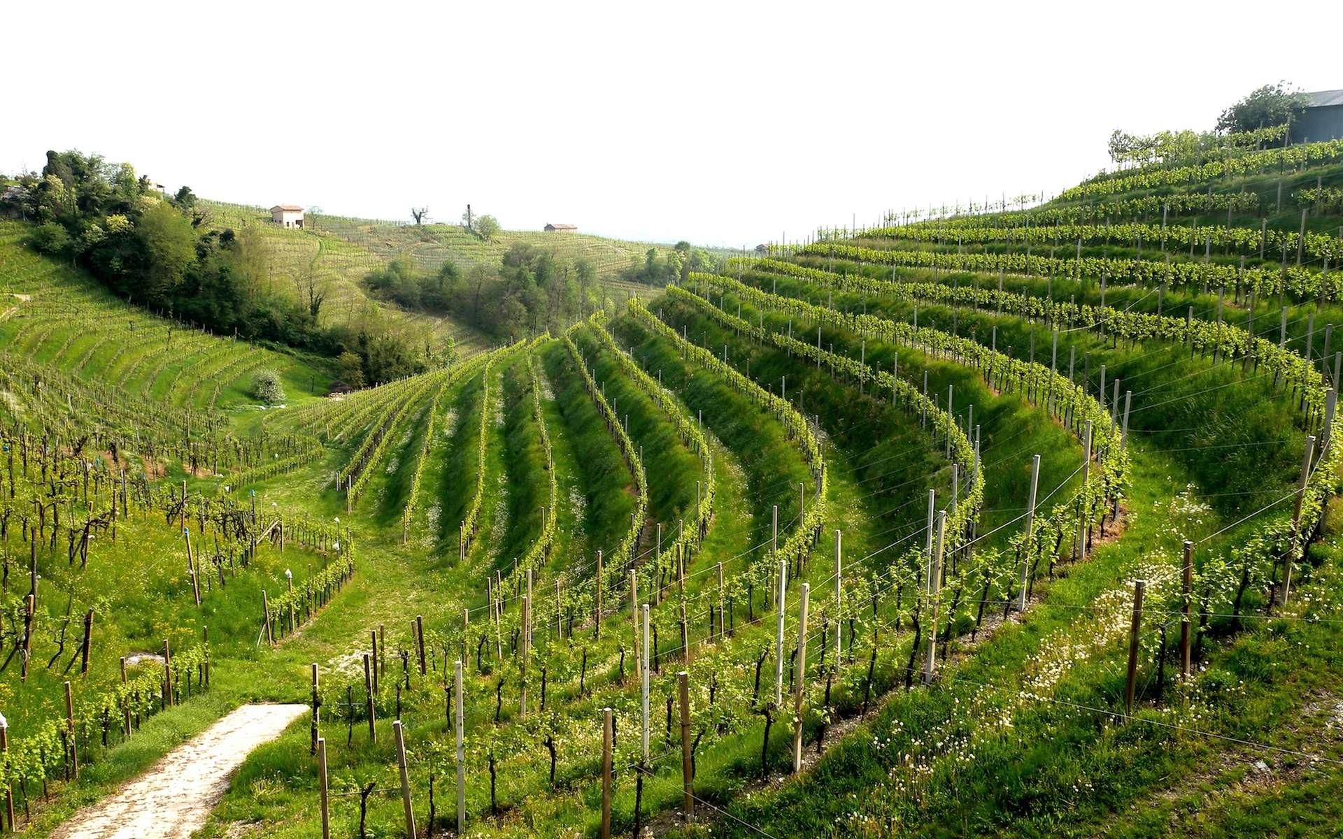 Les vignobles du prosecco entraînent une dégradation des sols alarmante en Italie. © Saverio Sartori, Flickr.jpg