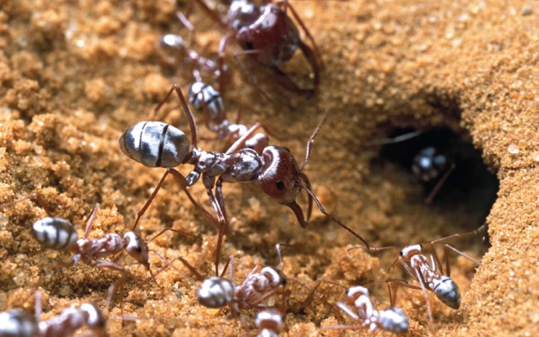 La fourmi argentée du Sahara possède des poils aux propriétés optiques étonnantes. Pour mieux les étudier, les chercheurs les ont rasées avec un scalpel bien aiguisé… © P. Landmann