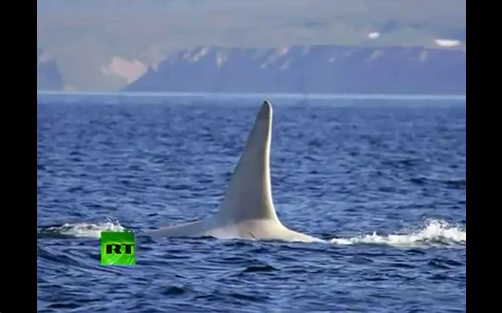 Cette orque albinos a été baptisée Iceberg. Elle est âgée de 16 ans, vit au large des côtes du Kamtchatka en Russie. C'est la première orque albinos jamais vue. © Capture d'écran, Russia Today