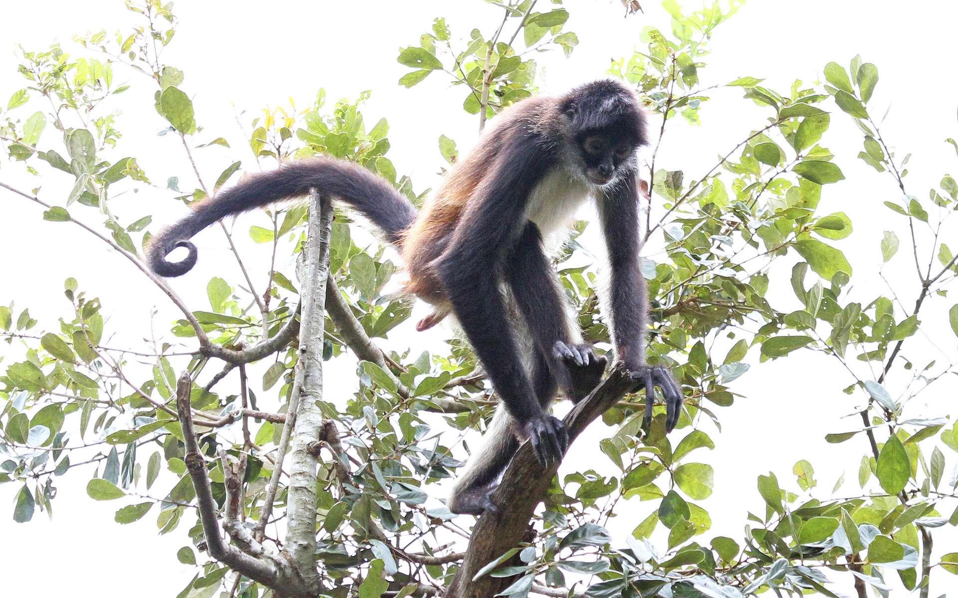 La plupart des singes, comme l'atèle de Geoffroy, ont conservé une queue. © Judy Gallagher, Flickr