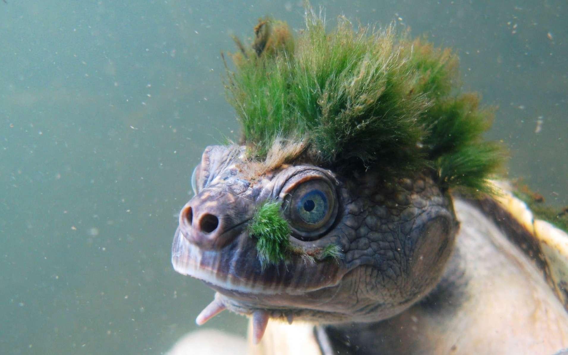 La tortue de la Mary River, qui peut passer jusqu'à trois jours sous l'eau, a rejoint la liste des reptiles menacés de la Zoological Society of London (ZSL). © Chris VAN WYK, ZSL, AFP