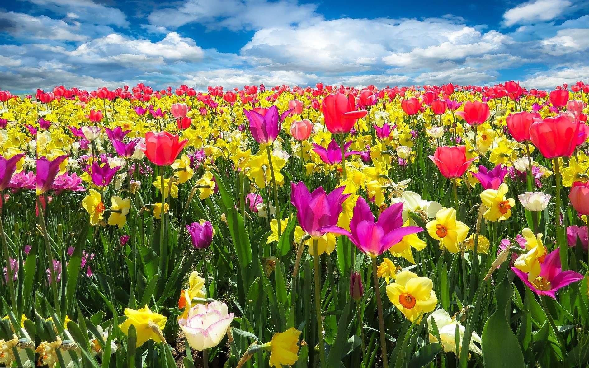 Champs de tulipes et jonquilles. © Blende12, Pixabay, DP