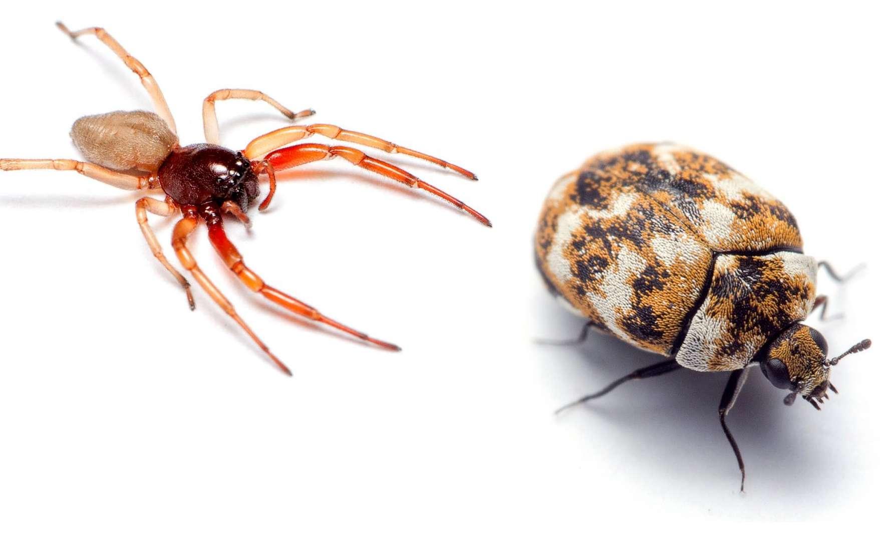 Les insectes et les araignées vivent avec nous. Mais les études sur leur biodiversité semblent rares. Un travail exhaustif a été réalisé aux États-Unis où les poussières de quelque 700 maisons ont été analysées par des chercheurs aussi efficacement que par des limiers de la police criminelle. © D'après Bertone et al.
