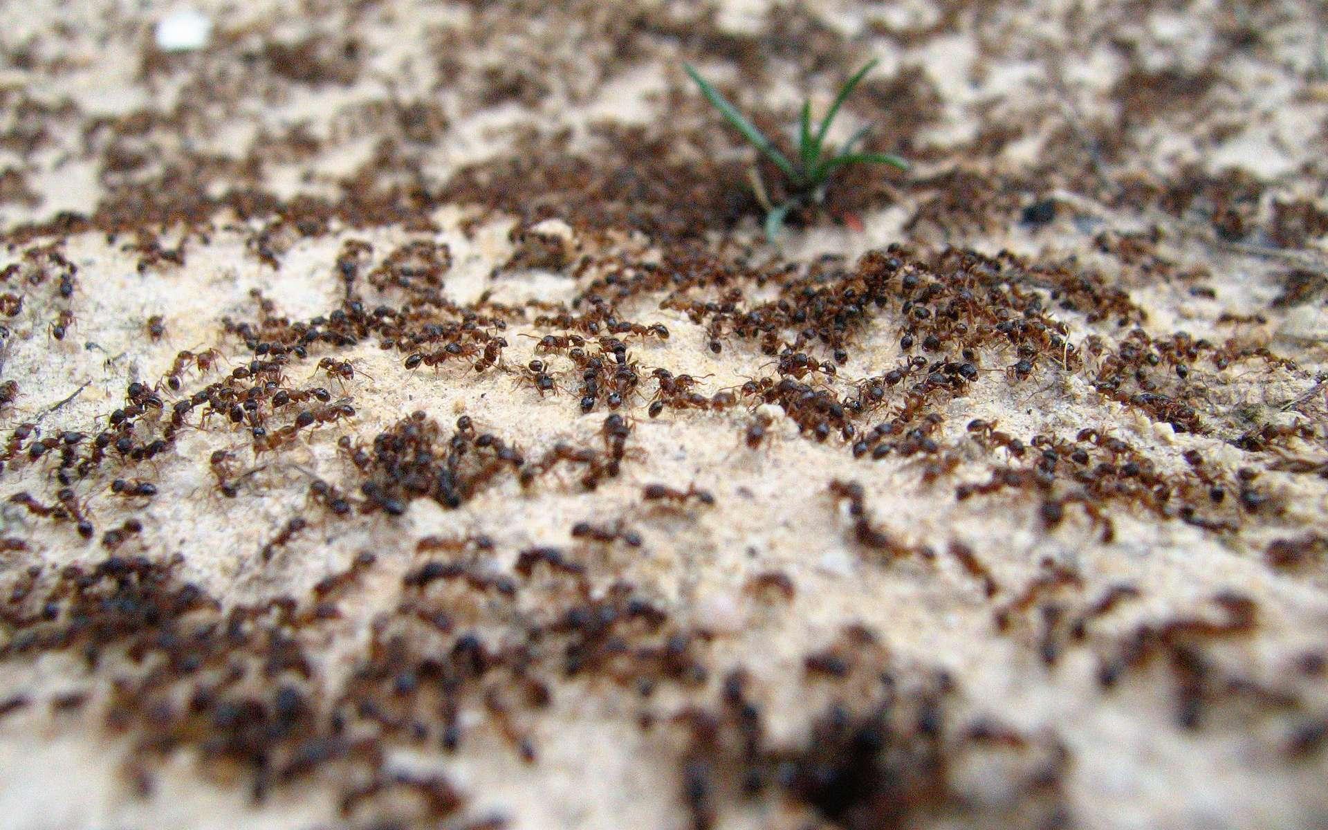 Les fourmis sont les championnes de la circulation efficace. © schizoform, Flickr