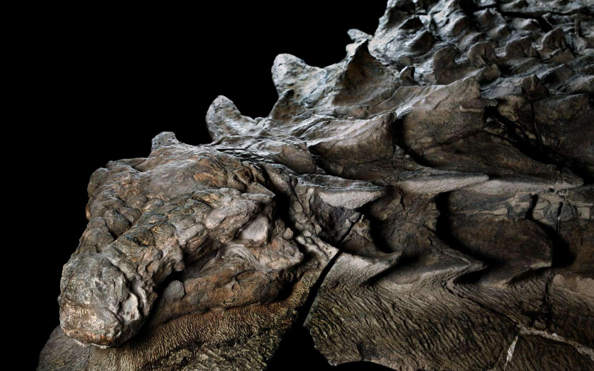 Une tête complète, des écailles semblant presque intactes : l'état de conservation de ce nodosaure retrouvé dans une mine est surprenant. L'animal est probablement mort noyé dans une inondation soudaine, il y a plus 110 millions d'années. © National Geographic, Royal Tyrrell Museum
