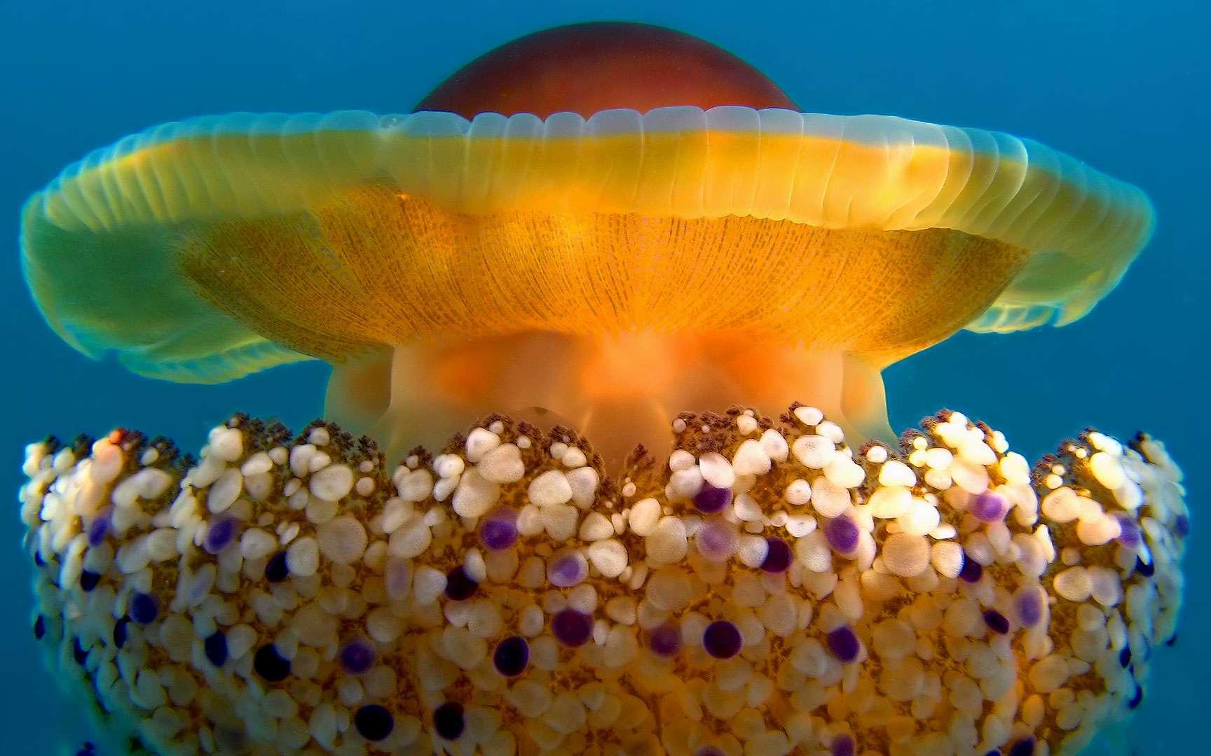 Cassiopea. Cassiopea (ou Cassiopeia), est un genre de méduse de la famille des cassiopeidae. Ces méduses ont l'habitude de cohabiter avec une zooxanthelle, une algue qui fournit de la nourriture en excès, dont se nourrit la méduse. Elles ont gagné leur nom de « méduses à l'envers » à cause d'une habitude amusante : elles se retournent et restent immobiles pour fournir assez de lumière à leur plante. © Ondablv CC BY-NC 2, Flickr CC BY-SA 3.0